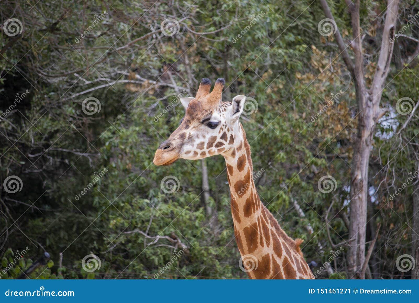 Giraffe vom Hals oben