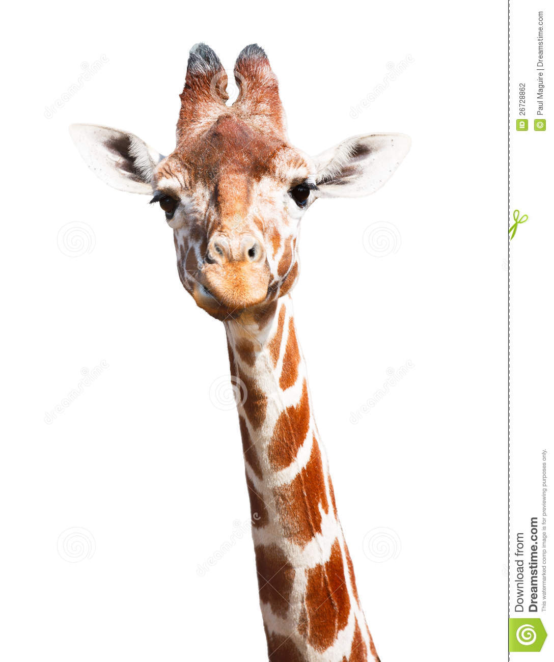 giraffe head white background - photo #9