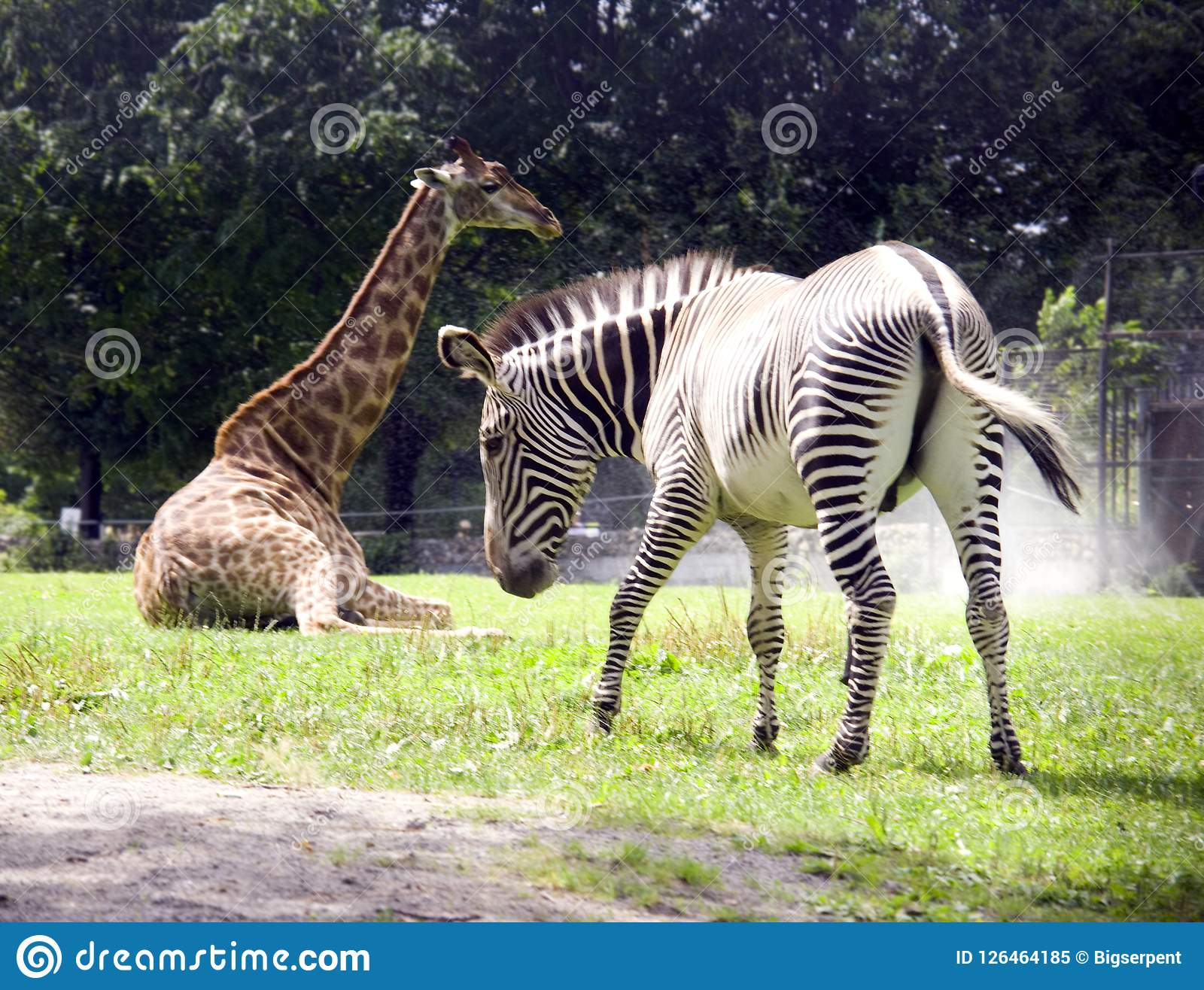 giraffe zebra africa mammal thin long neck spotted savannah striped