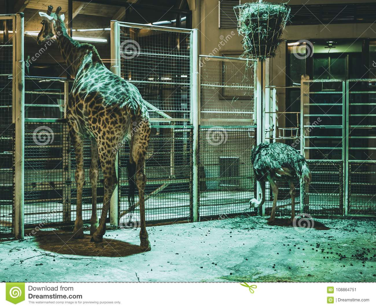Giraffe in the zoo animals and ostrich