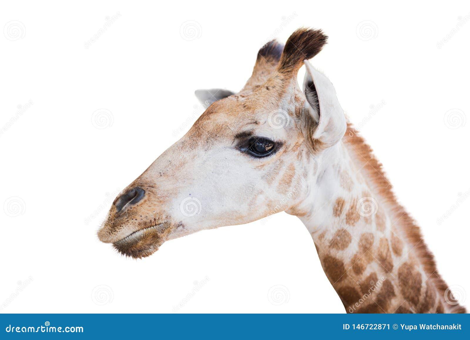 Giraffekopf getrennt auf Wei?