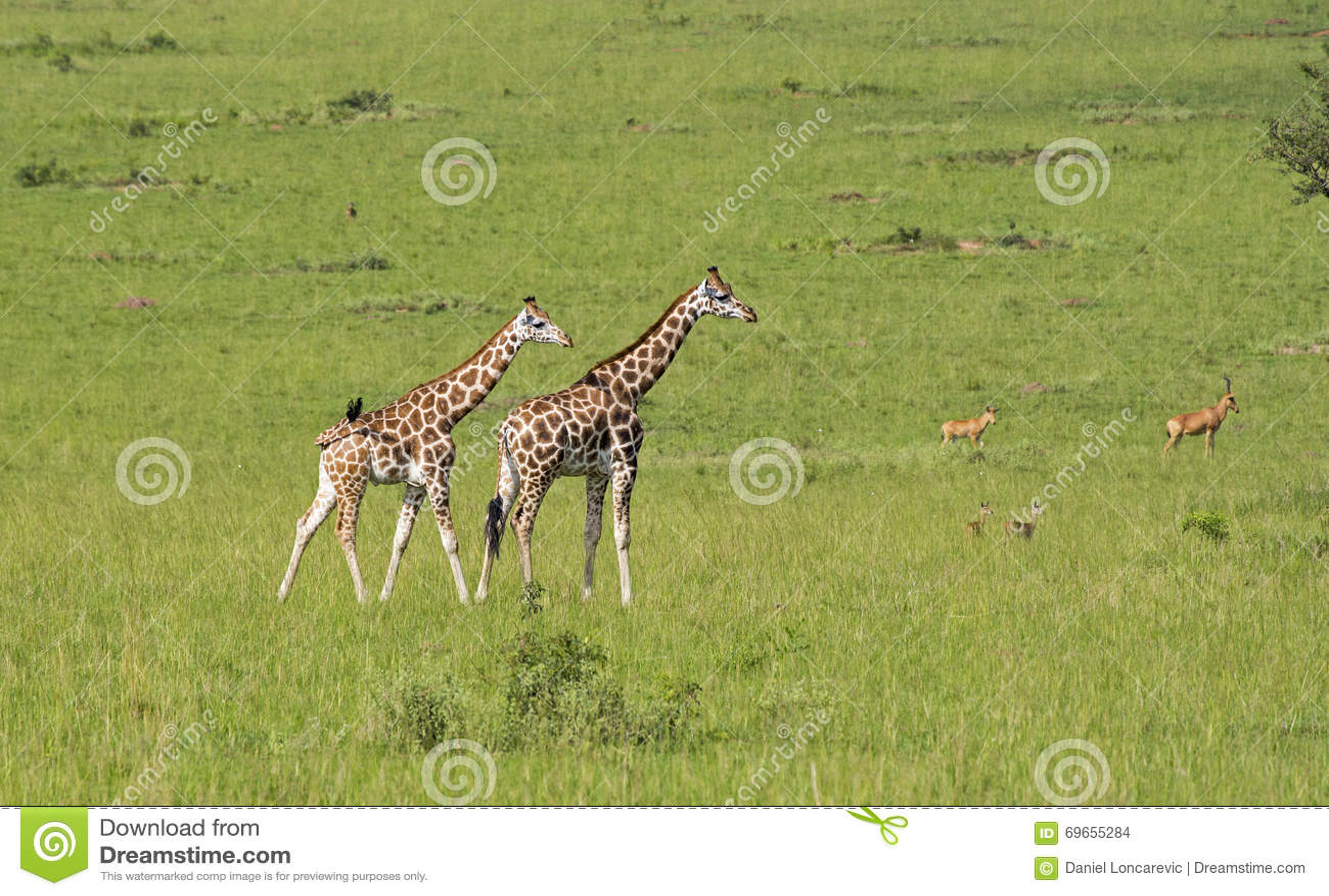 Giraffen in de savanne