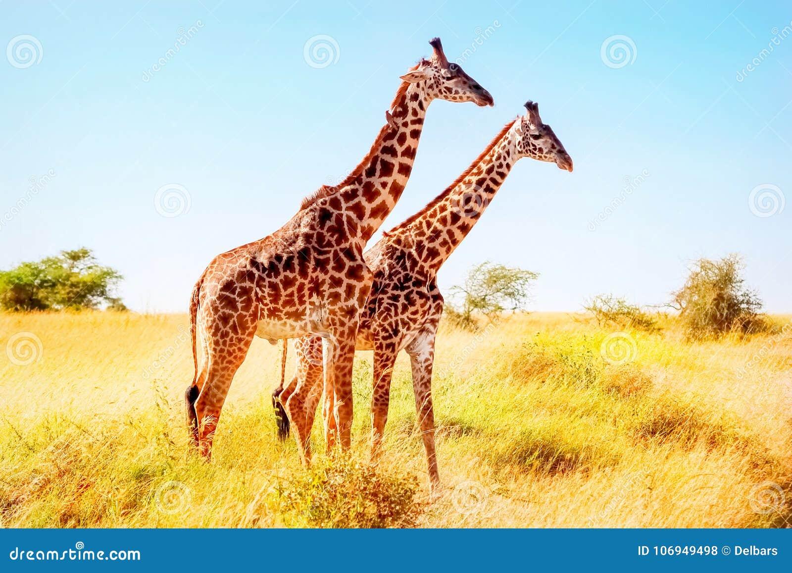 Giraffen in der afrikanischen Savanne Afrikanische Safari