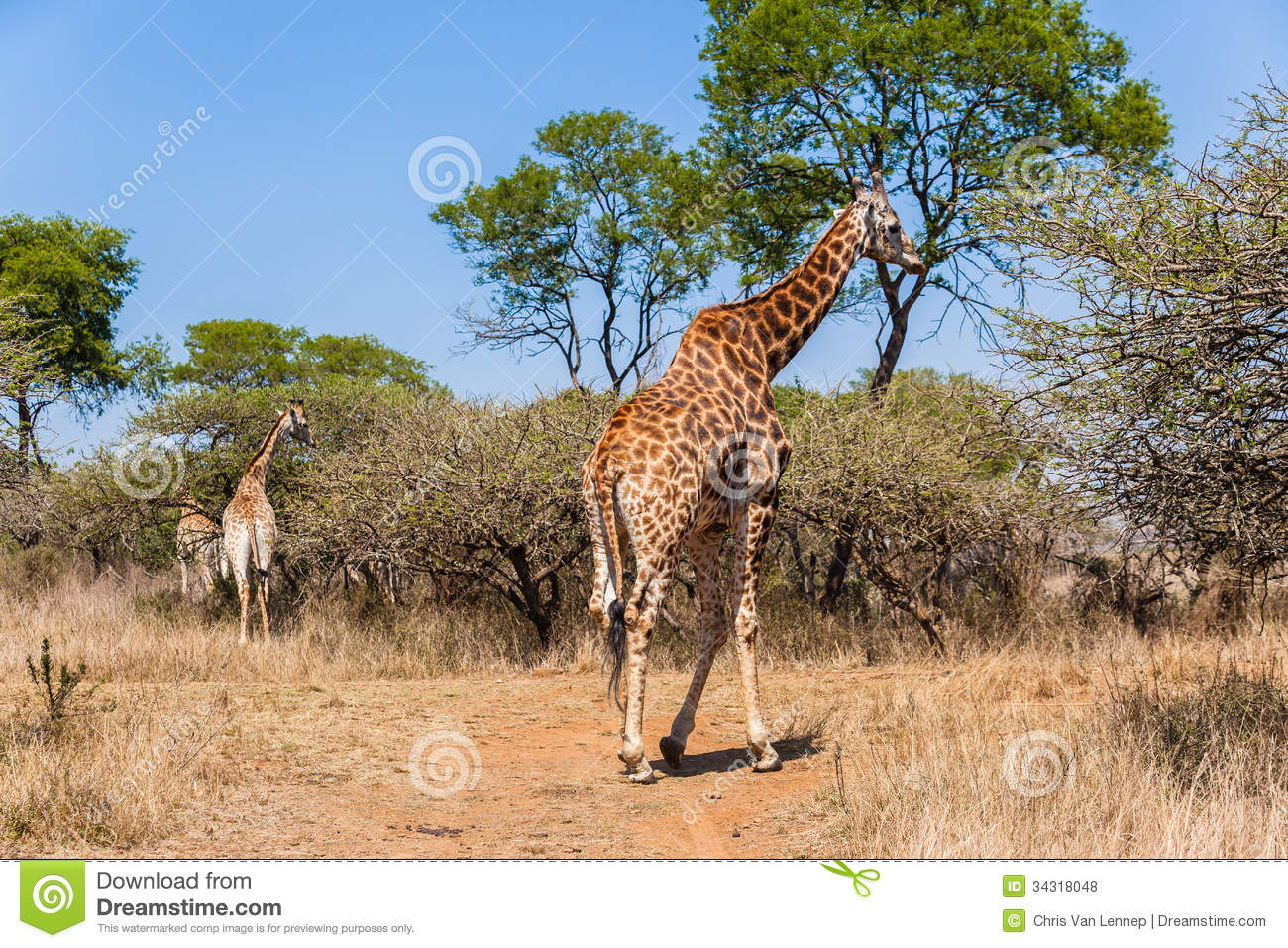 giraffen stier frau wild lebende tiere stockfoto bild 34318048. Black Bedroom Furniture Sets. Home Design Ideas