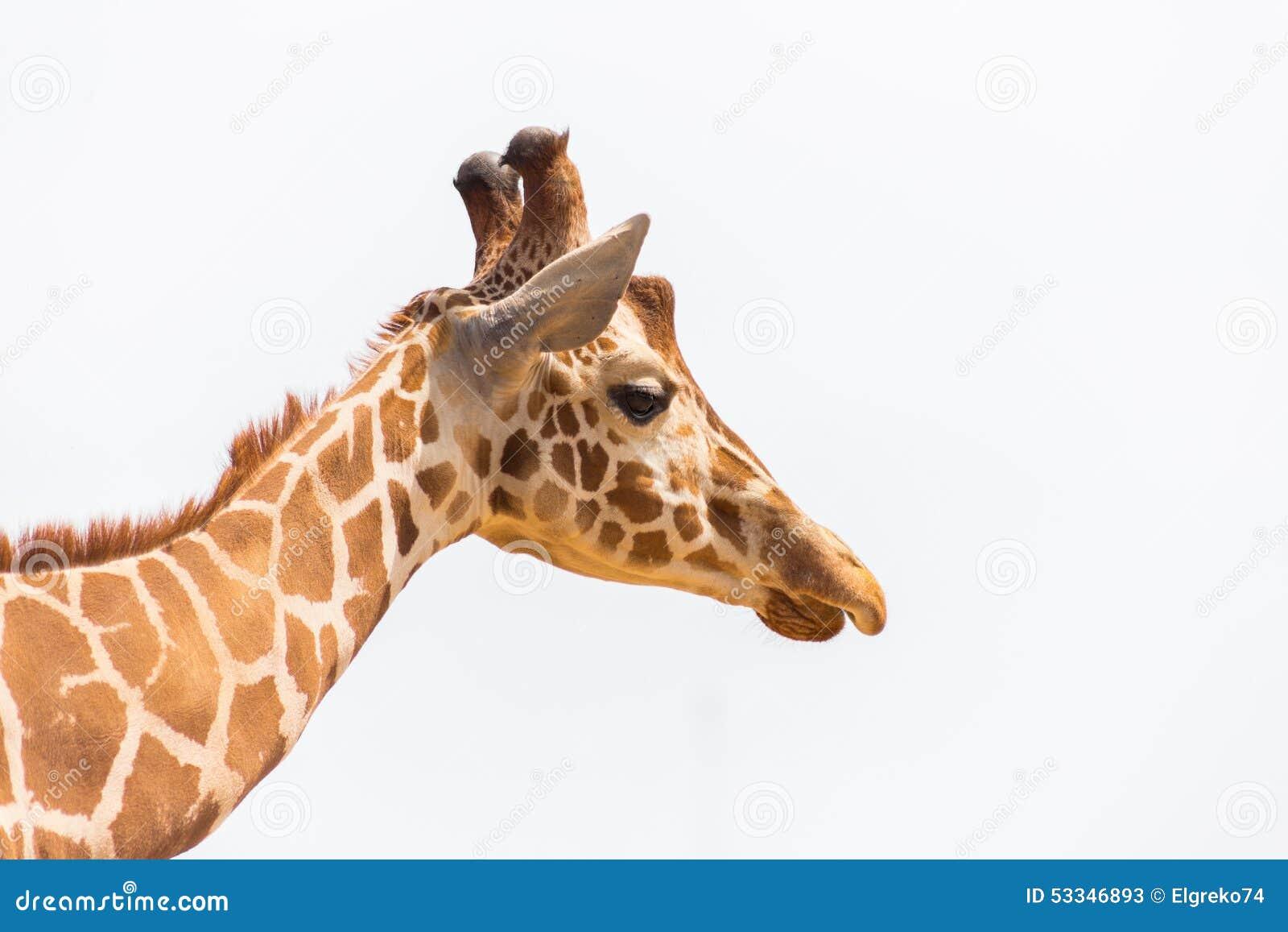 Giraffenkopf lokalisiert auf weißem Hintergrund