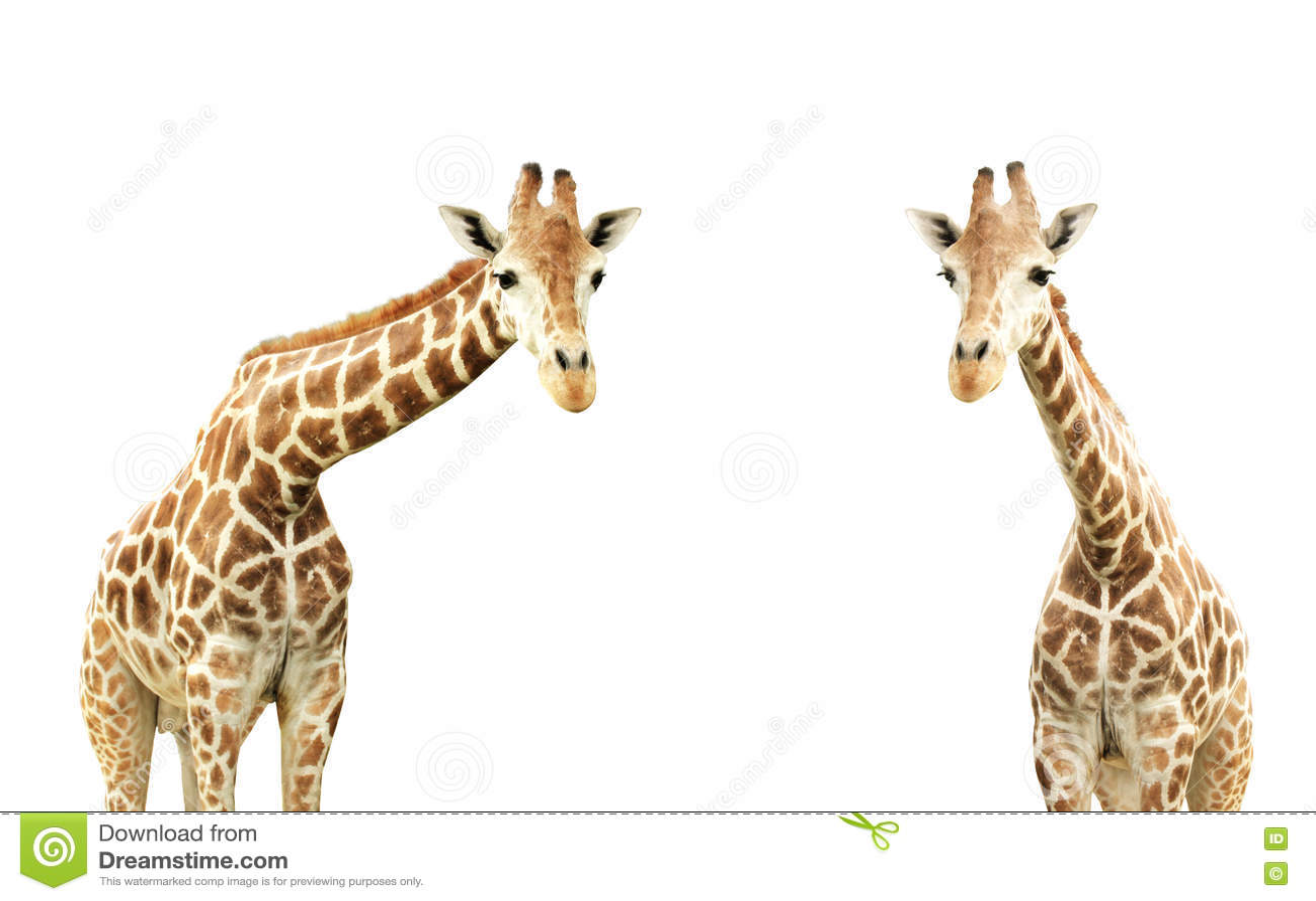 Giraffes δύο