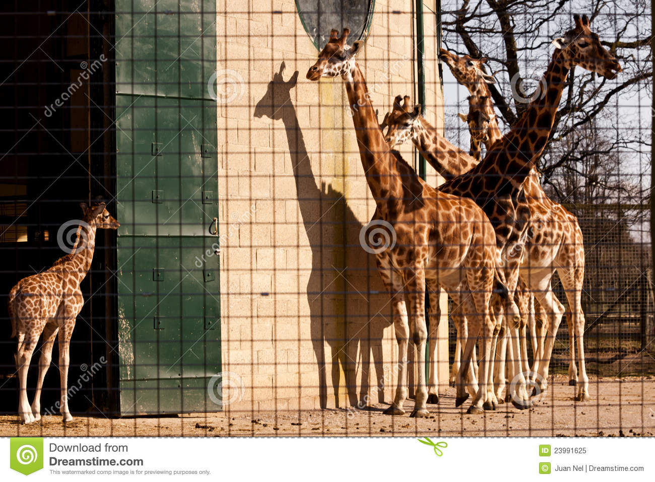 giraffes in captivity 10 february 2014 questions and answers about giraffes in captivity an expert explains why he believes the copenhagen zoo was correct in its decision to kill 2-year-old marius.