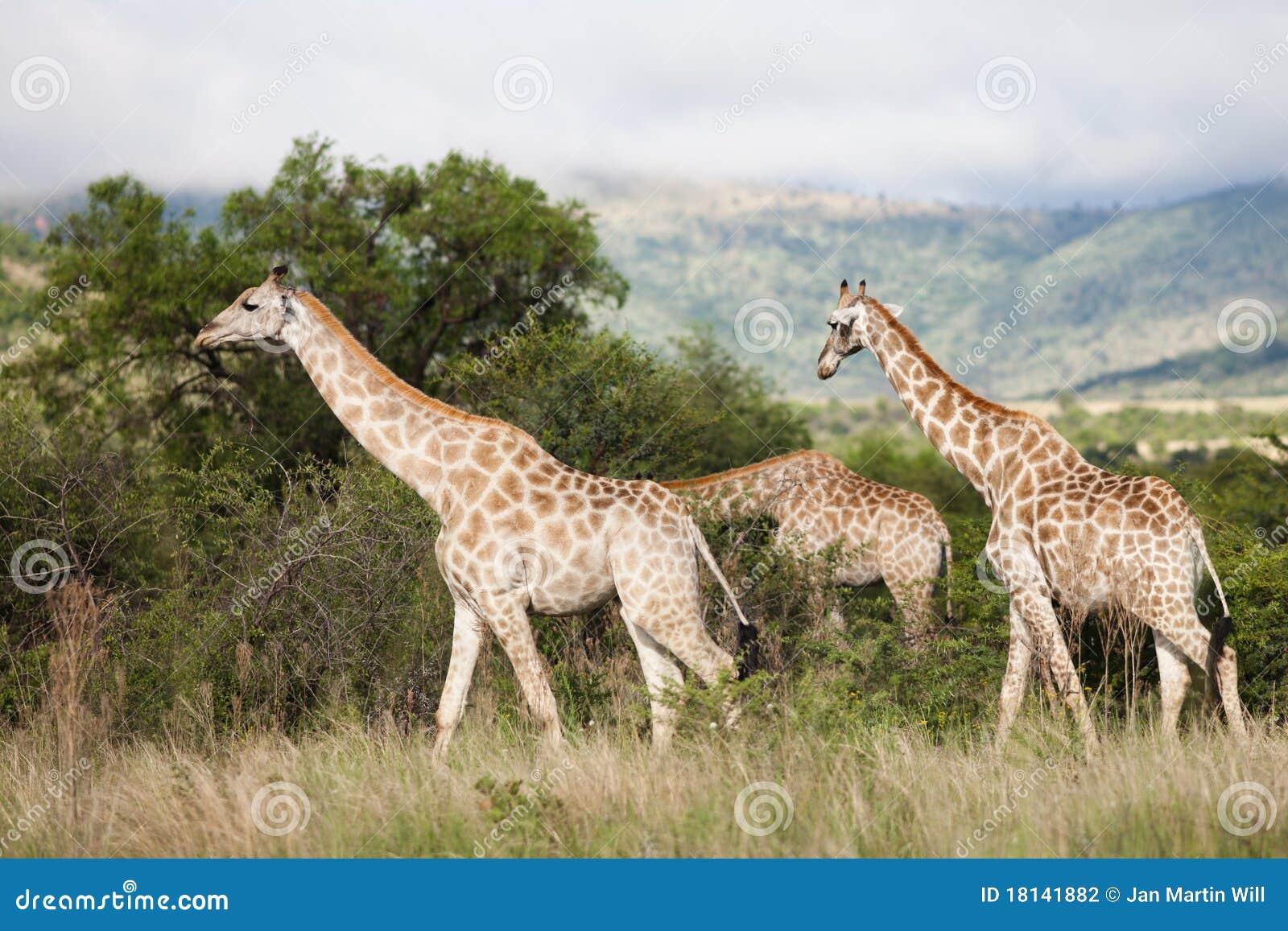 Giraffes em África do Sul