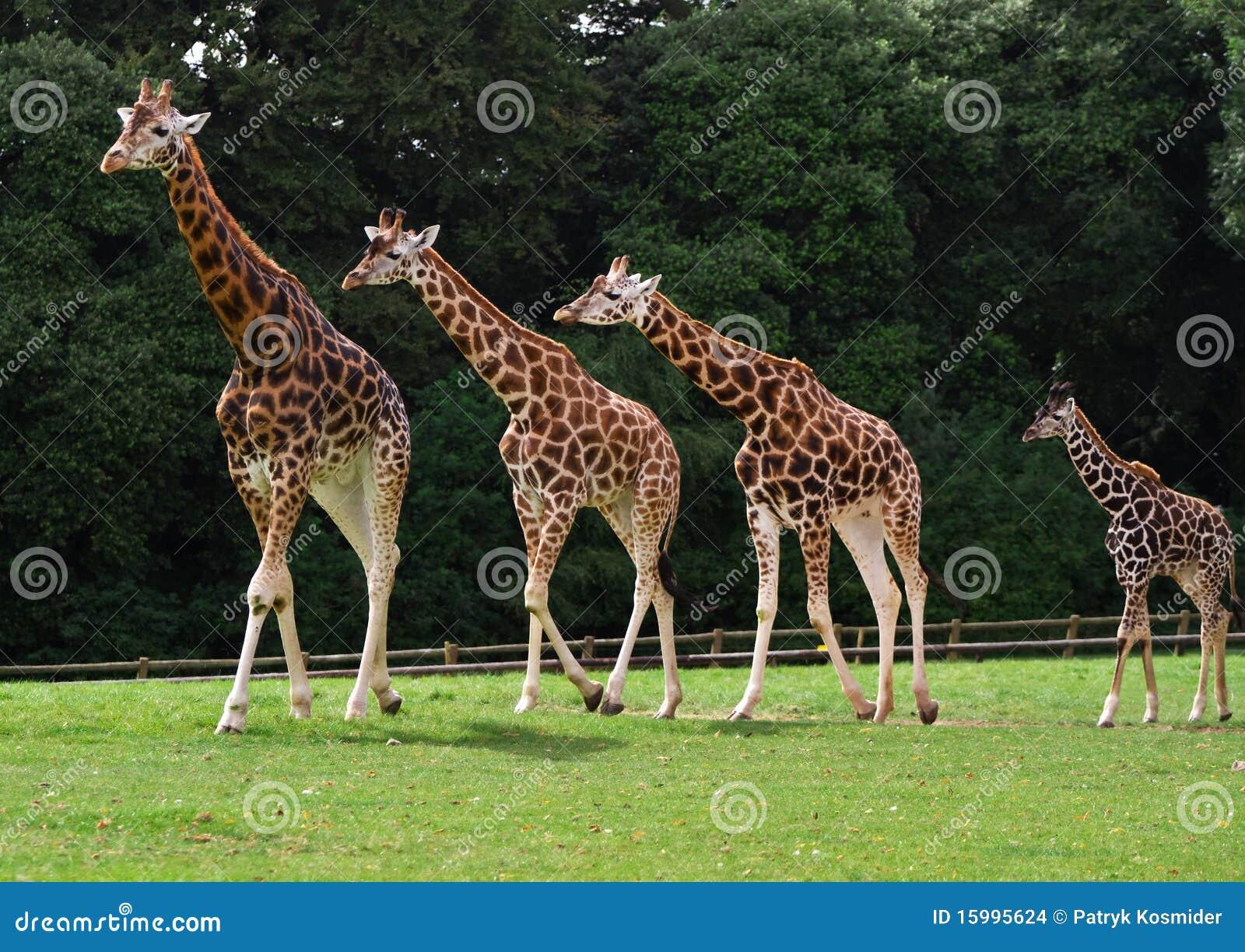 giraffes family stock photo image of background