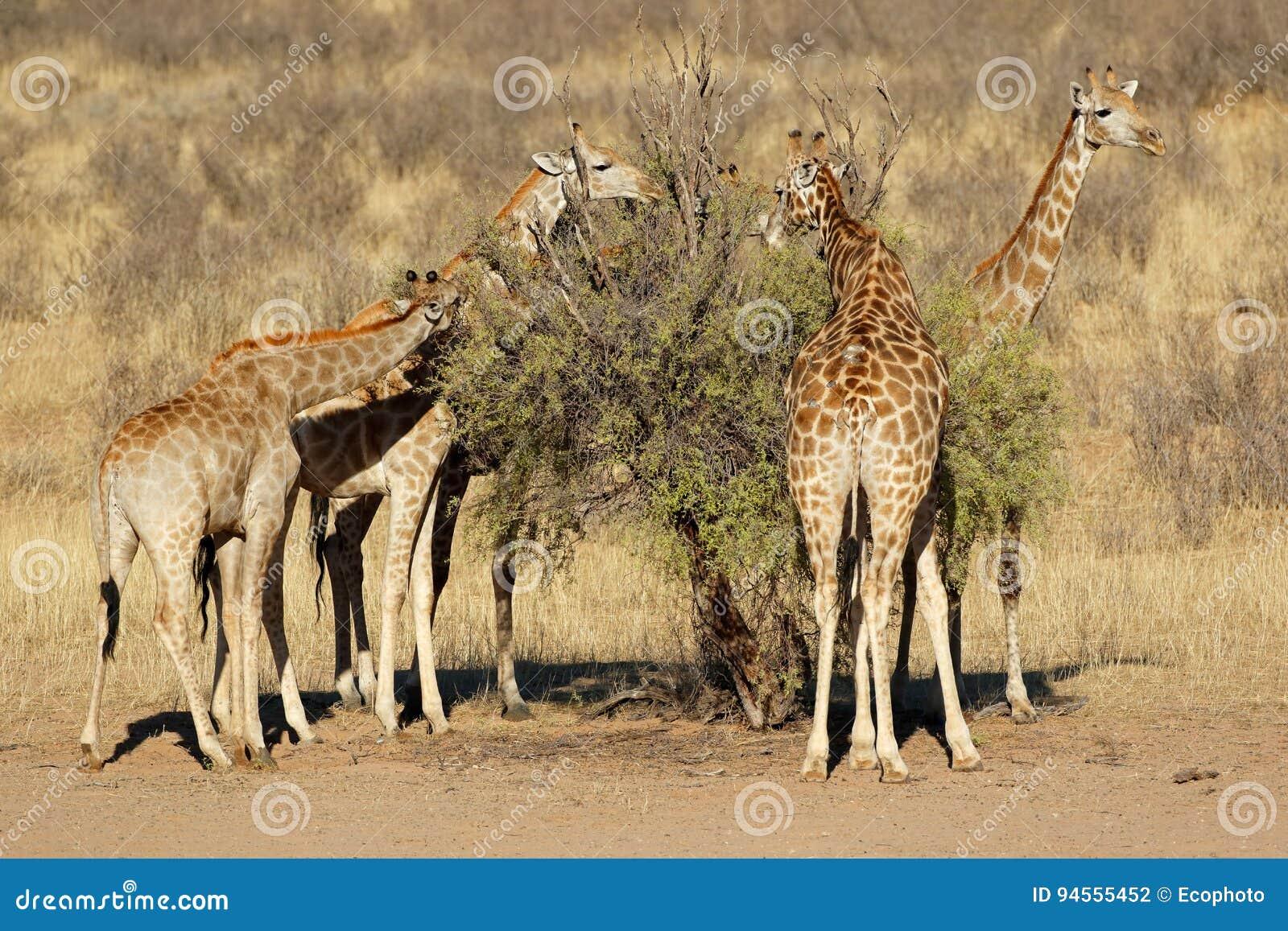 Giraffes feeding on a tree