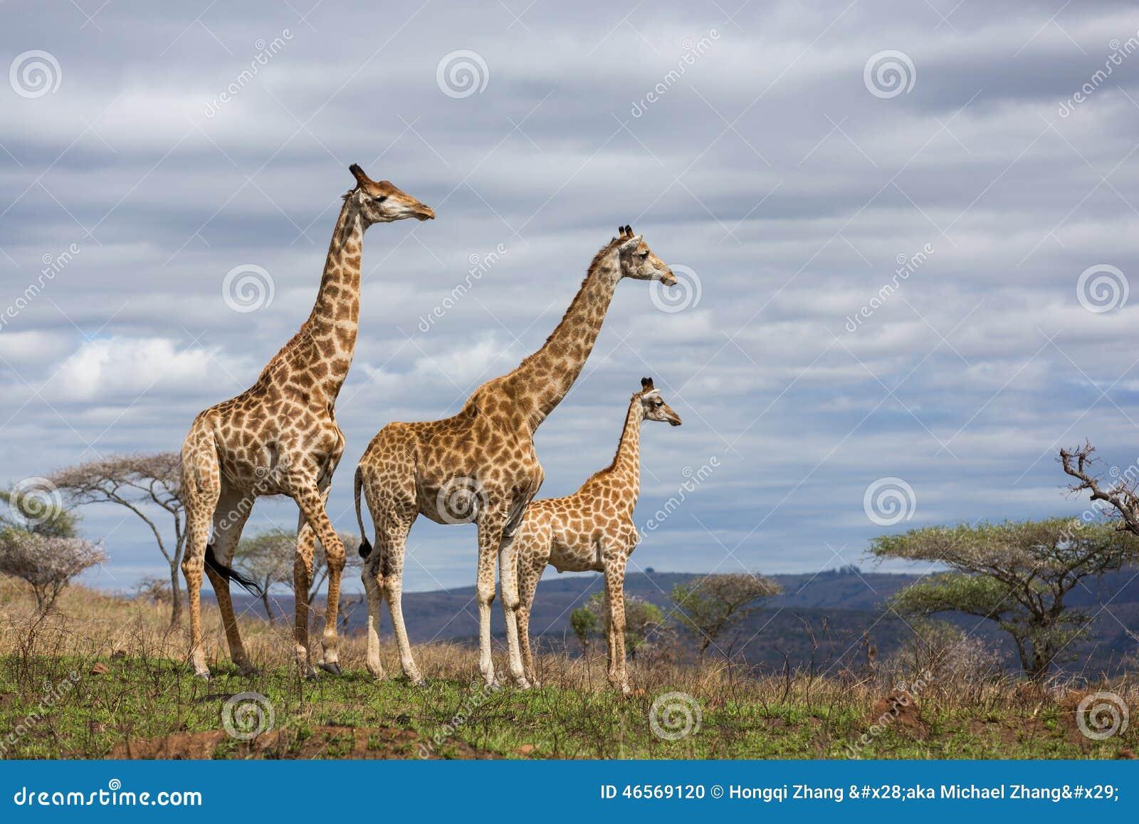 Giraffes game reserve
