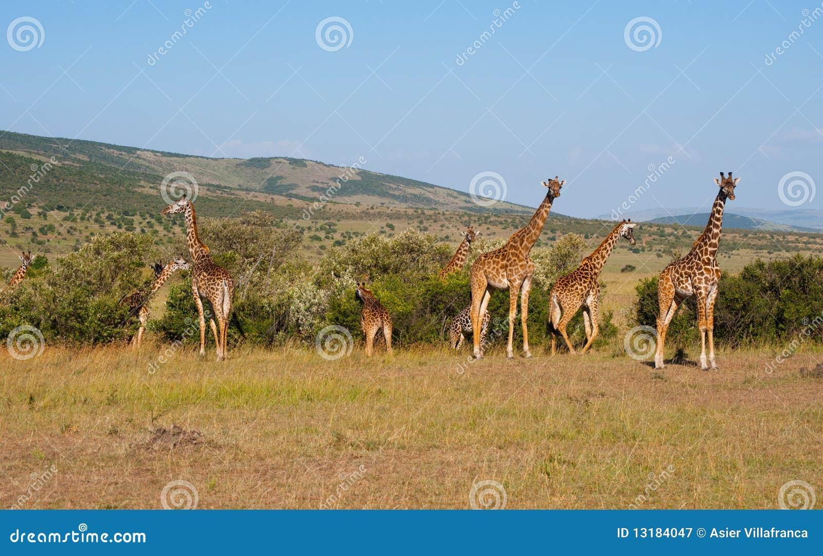 Giraffes masai της Κένυας mara