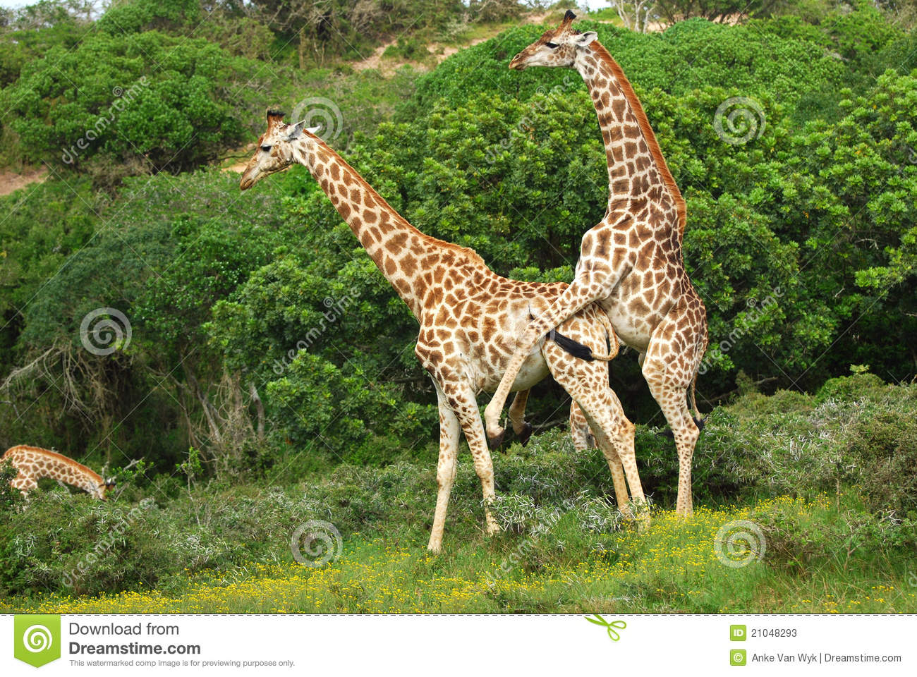 Giraffes mating in the green bush of South Africa.
