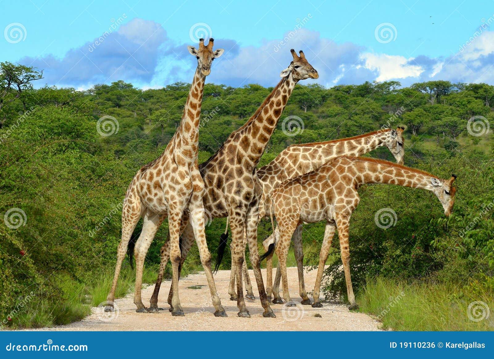 Giraffes overcrowding,Namibia