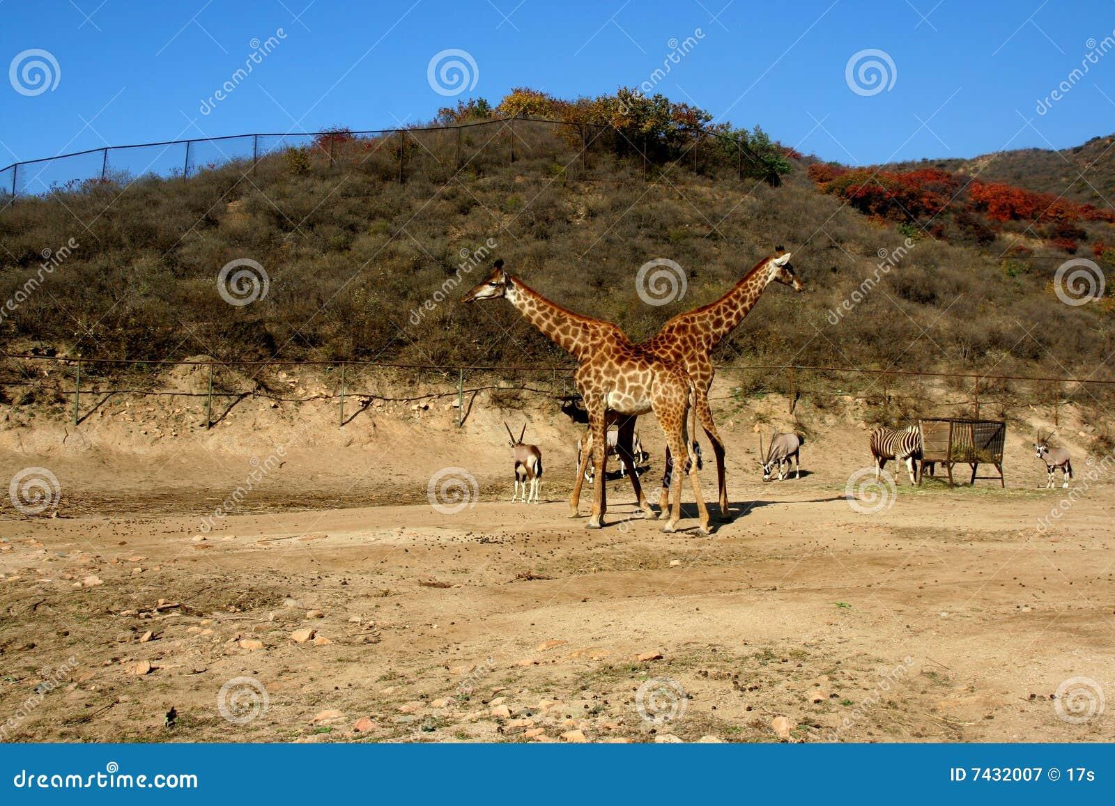 Giraffes X transversais