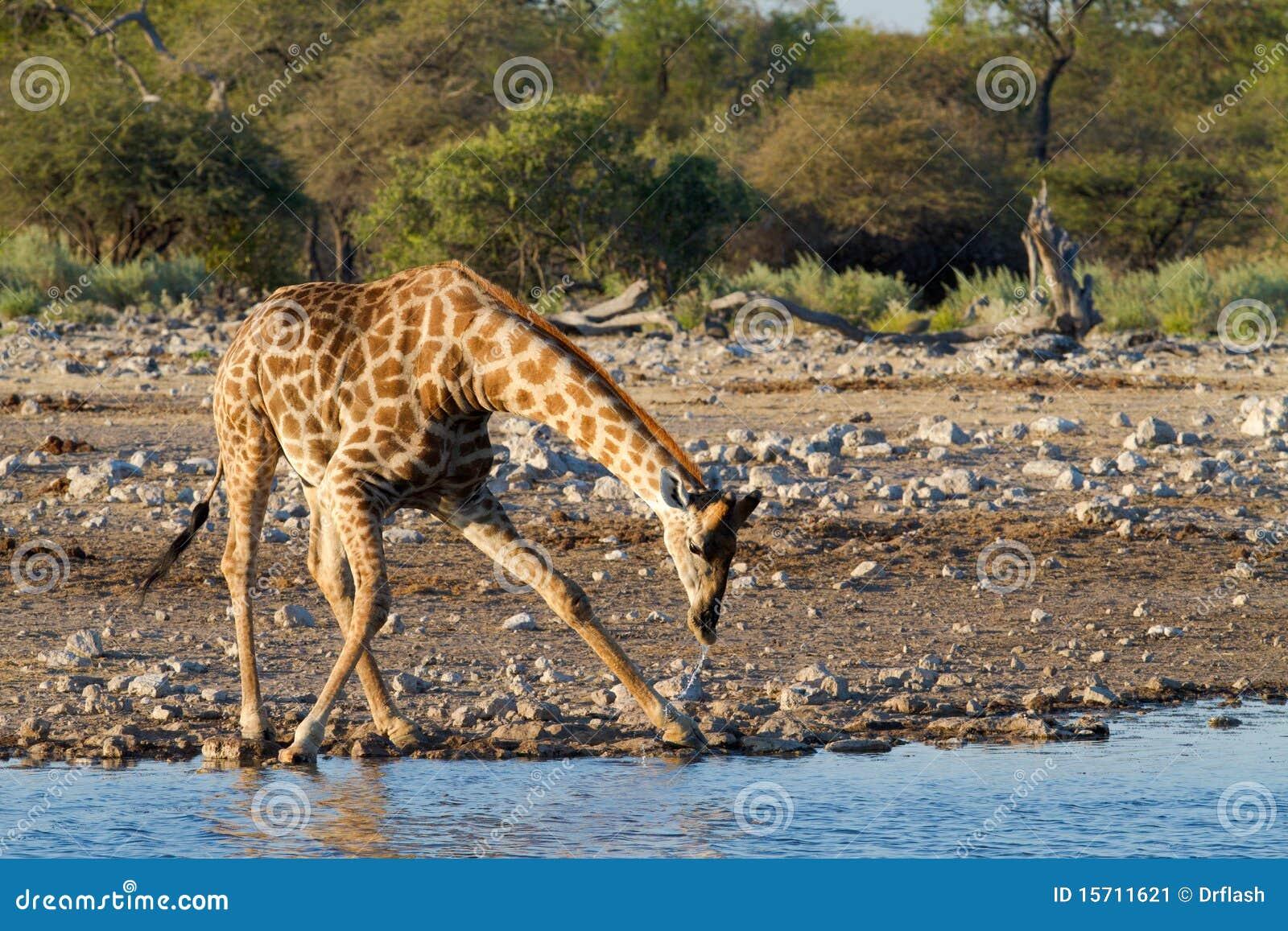Giraffetrinken