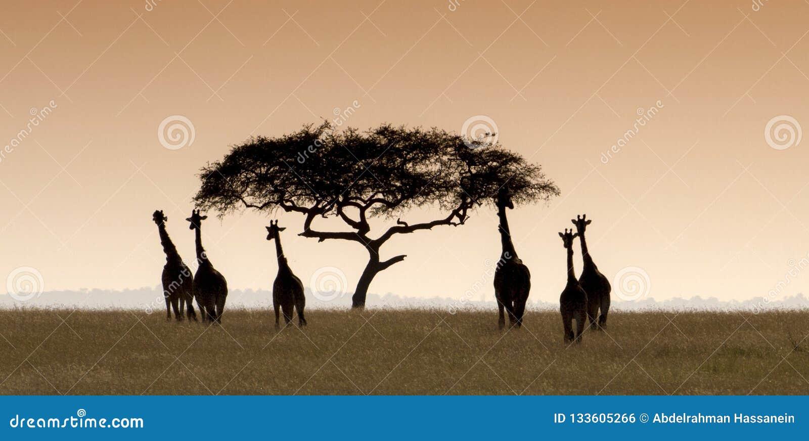 Giraffflock som flyttar sig in mot ett akaciaträd