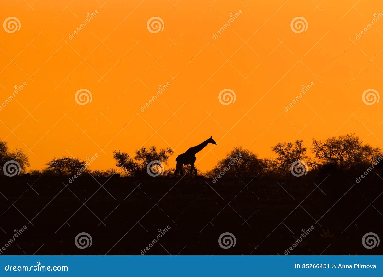 Giraffkontur med aftonapelsinsolnedgång