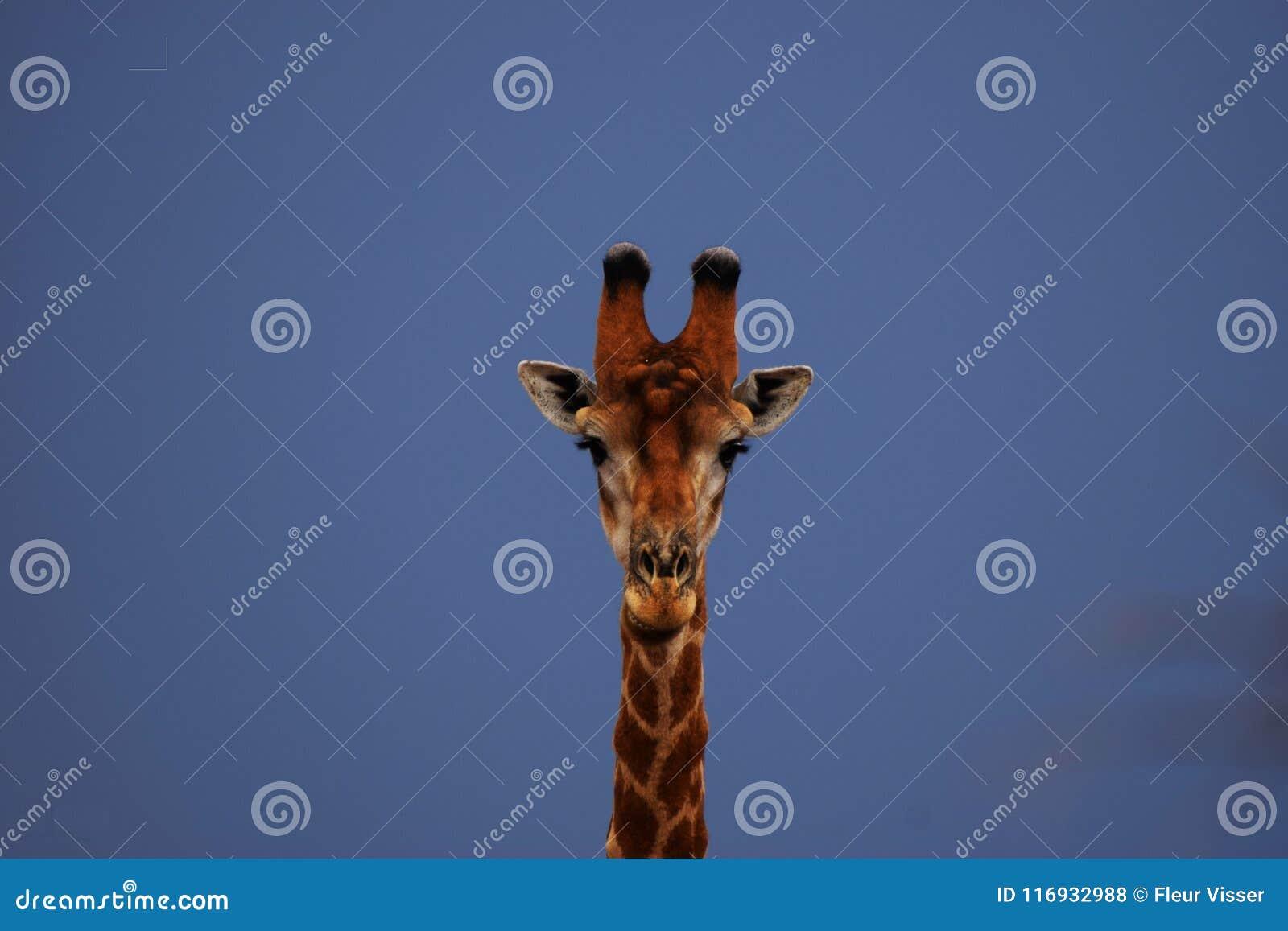 Giraffstående, Limpopo
