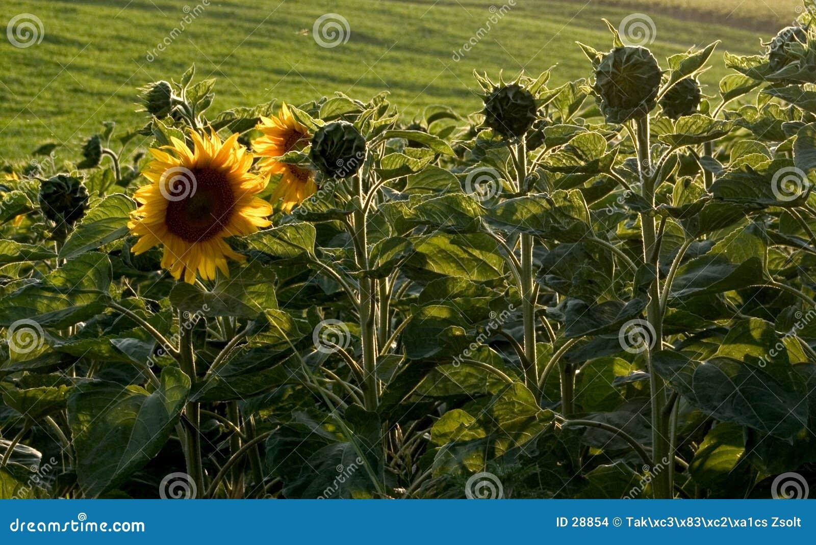 Download Girasol foto de archivo. Imagen de color, campo, agricultura - 28854