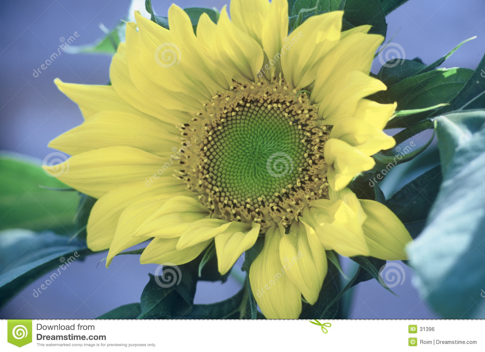 Download Girasol foto de archivo. Imagen de flor, amarillo, verde - 31396
