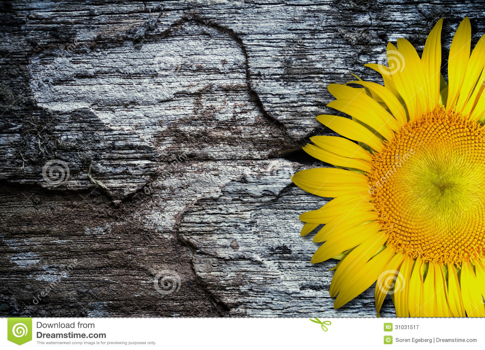 Girasol amarillo en viejo fondo de madera texturizado del piso