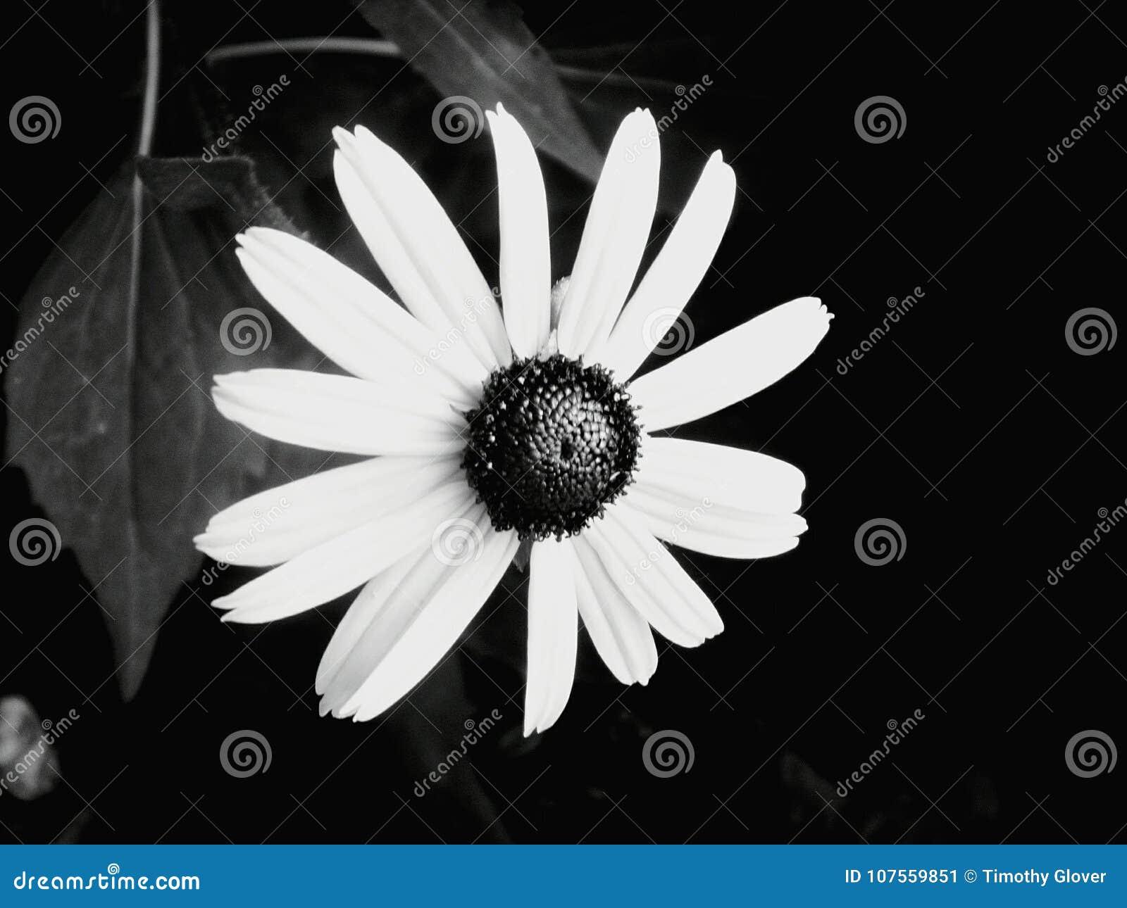 Girasol Blanco Y Negro Imagen De Archivo Imagen De Blanco 107559851
