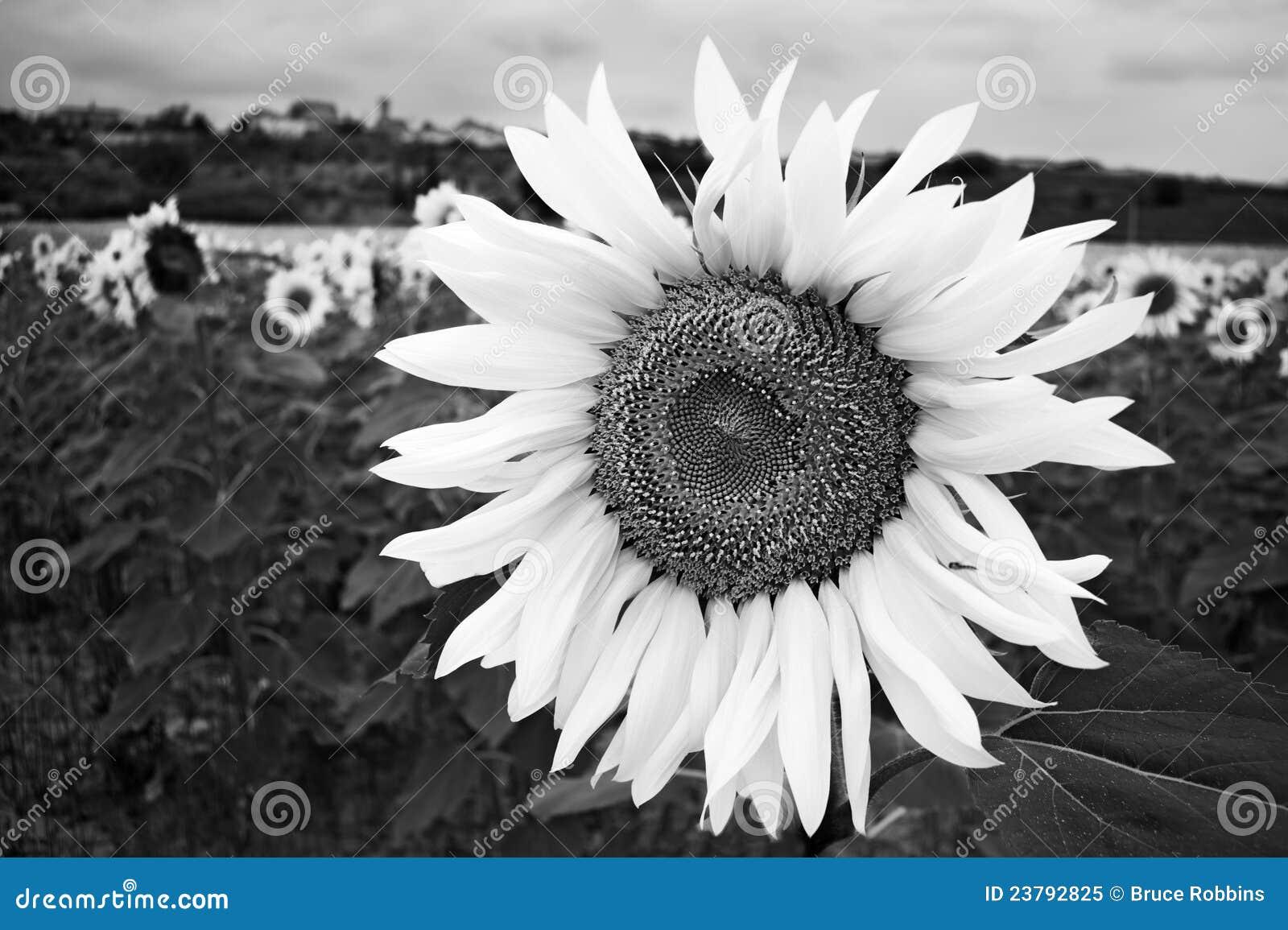 Girasol Blanco Y Negro Imagen De Archivo Imagen De Flores 23792825