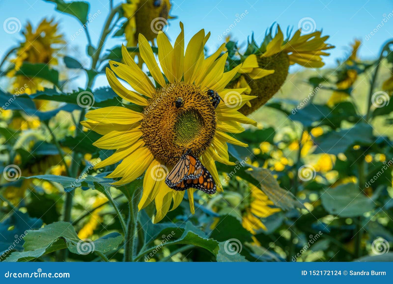Girasol con las donadoras de polen una mariposa y abejas