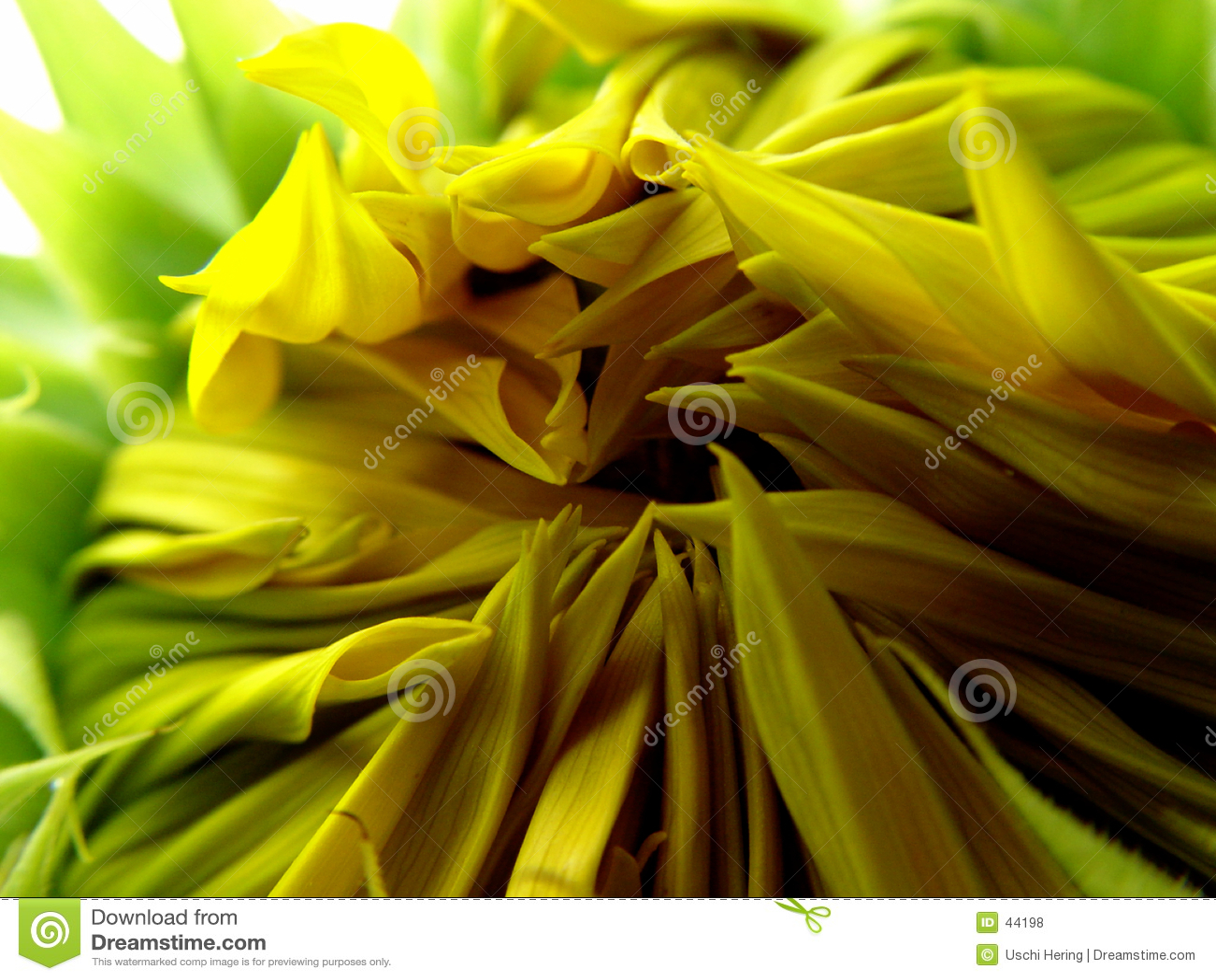 Download Girasol de la apertura foto de archivo. Imagen de azul, plantas - 44198