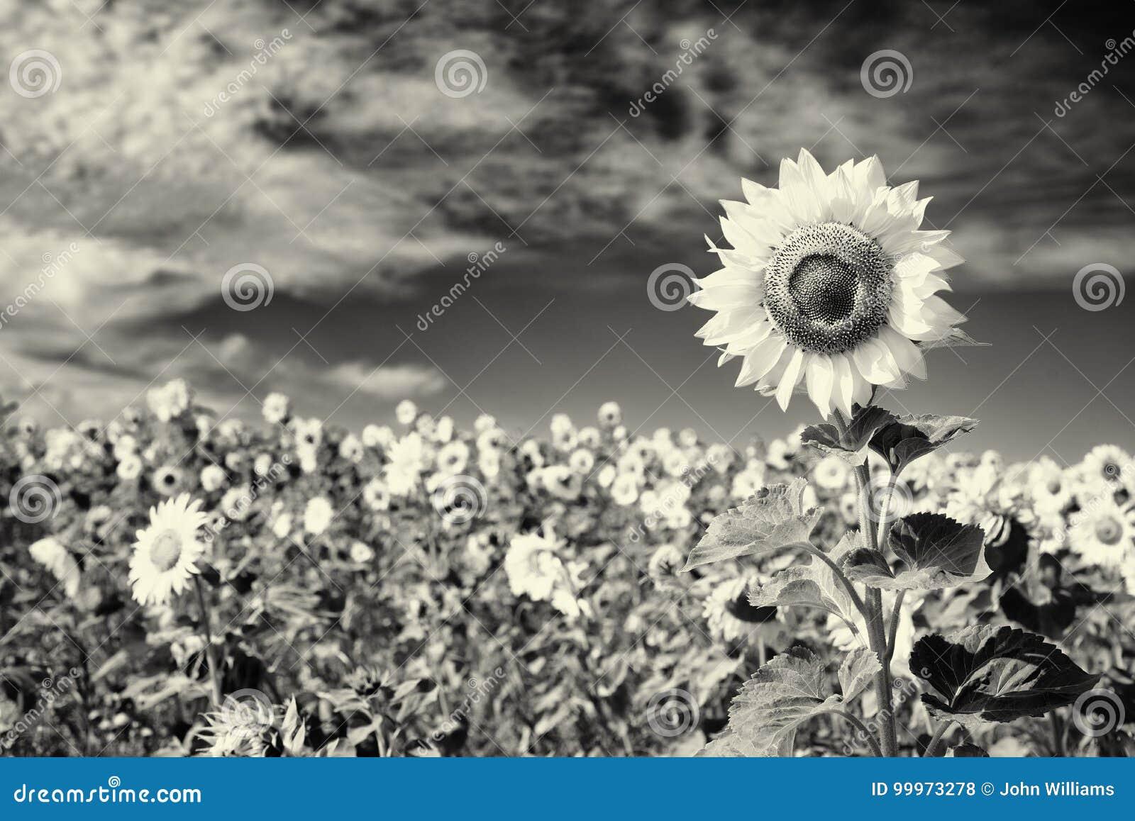 Girasol En Blanco Y Negro Foto De Archivo Imagen De Flor 99973278