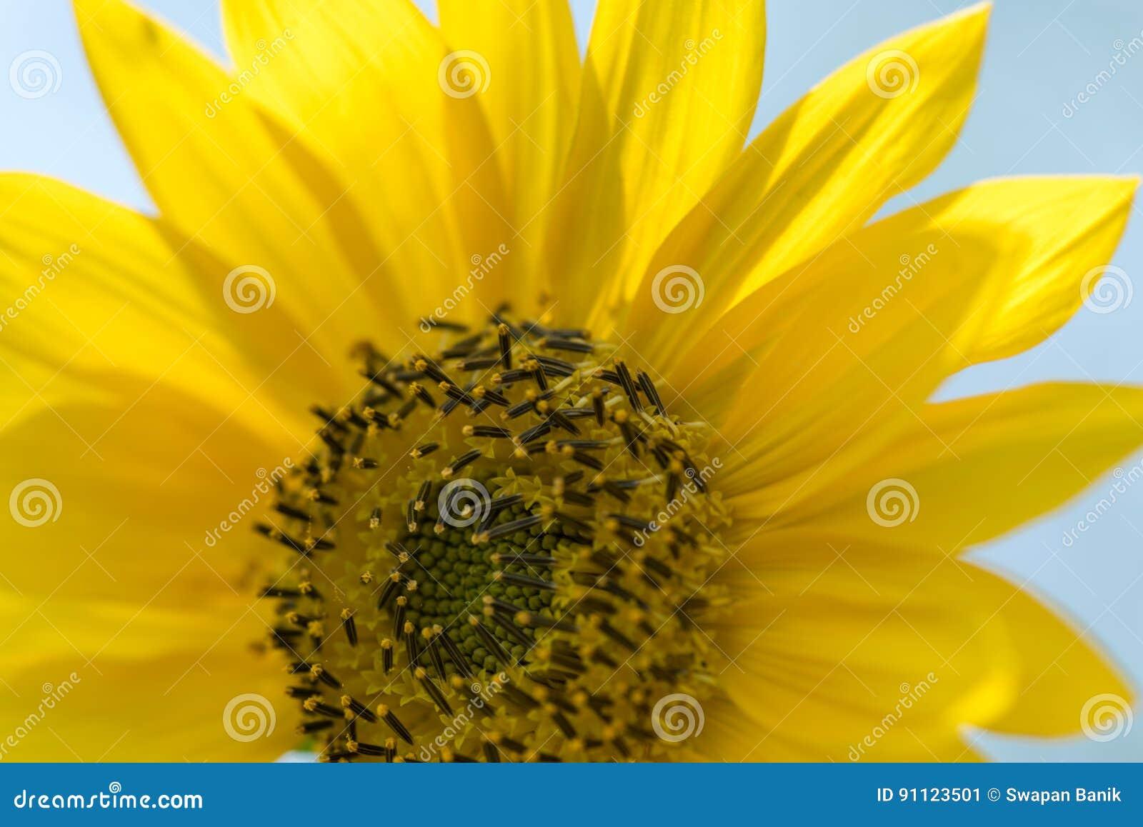 Girasol florecido en el verano