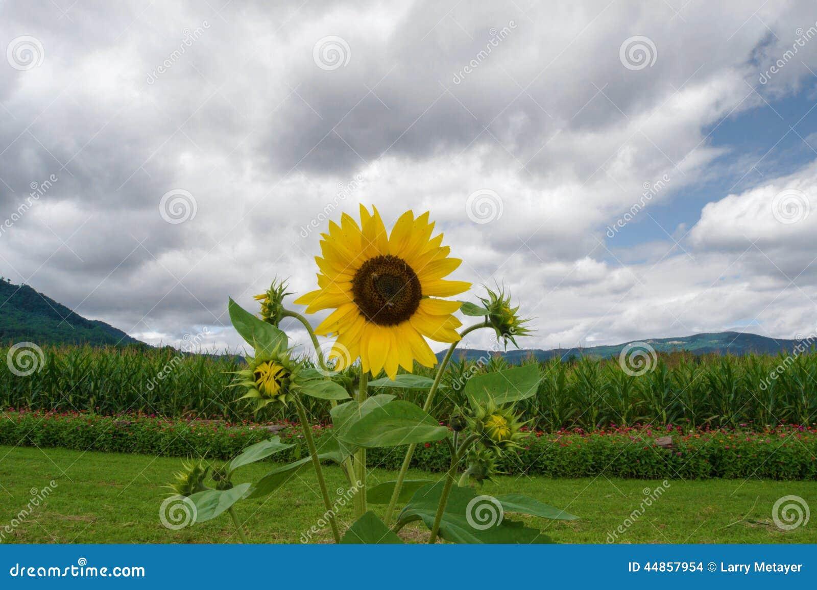 Girasol, maíz, montañas y cielo