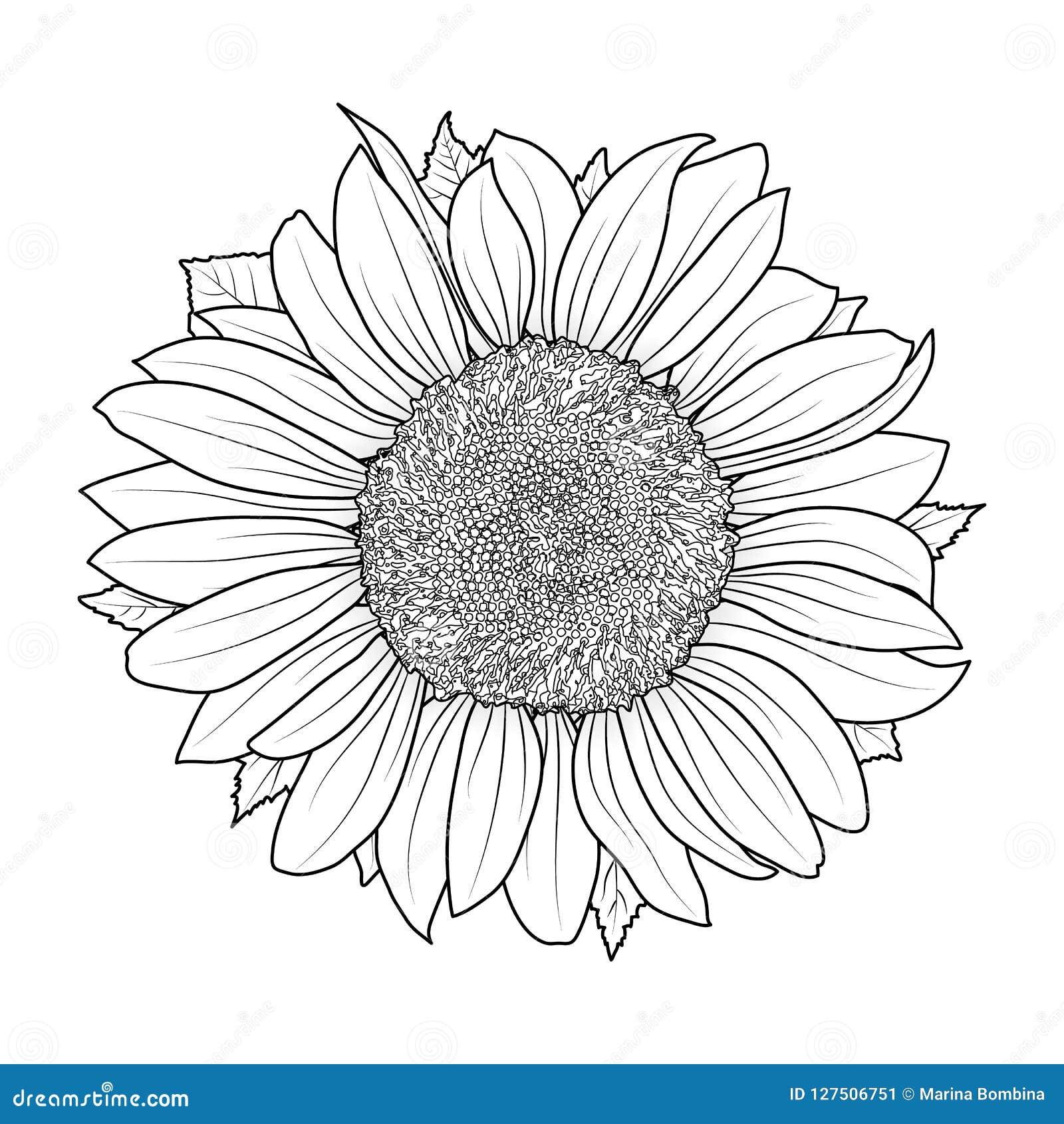 Girasol Para El Vector Del Libro De Colorear Ilustración Del Vector