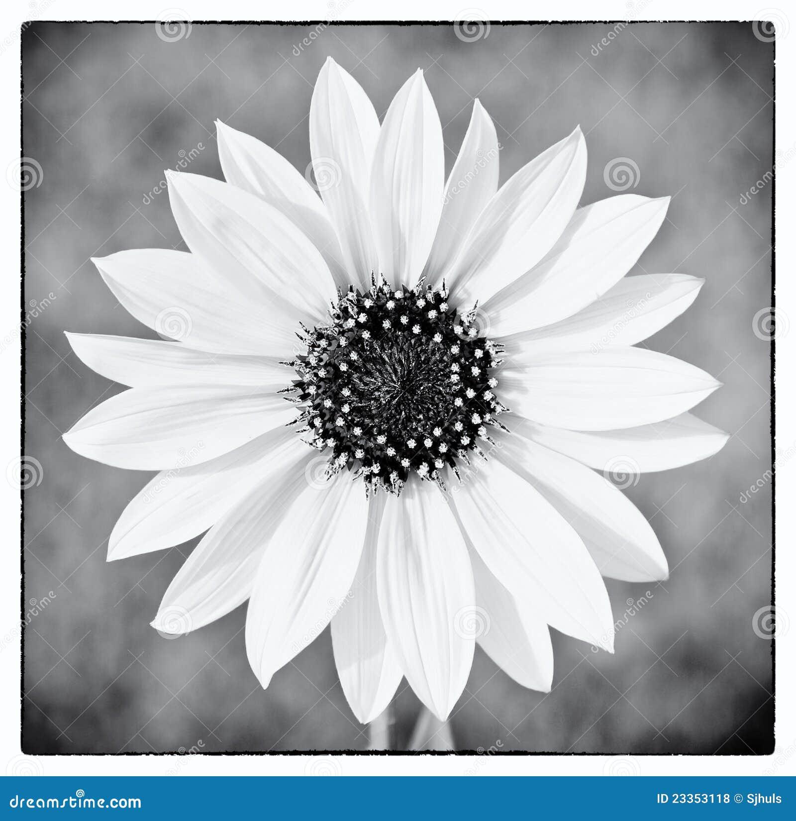 Girasol salvaje en blanco y negro fotos de archivo libres for Imagenes bonitas en blanco y negro
