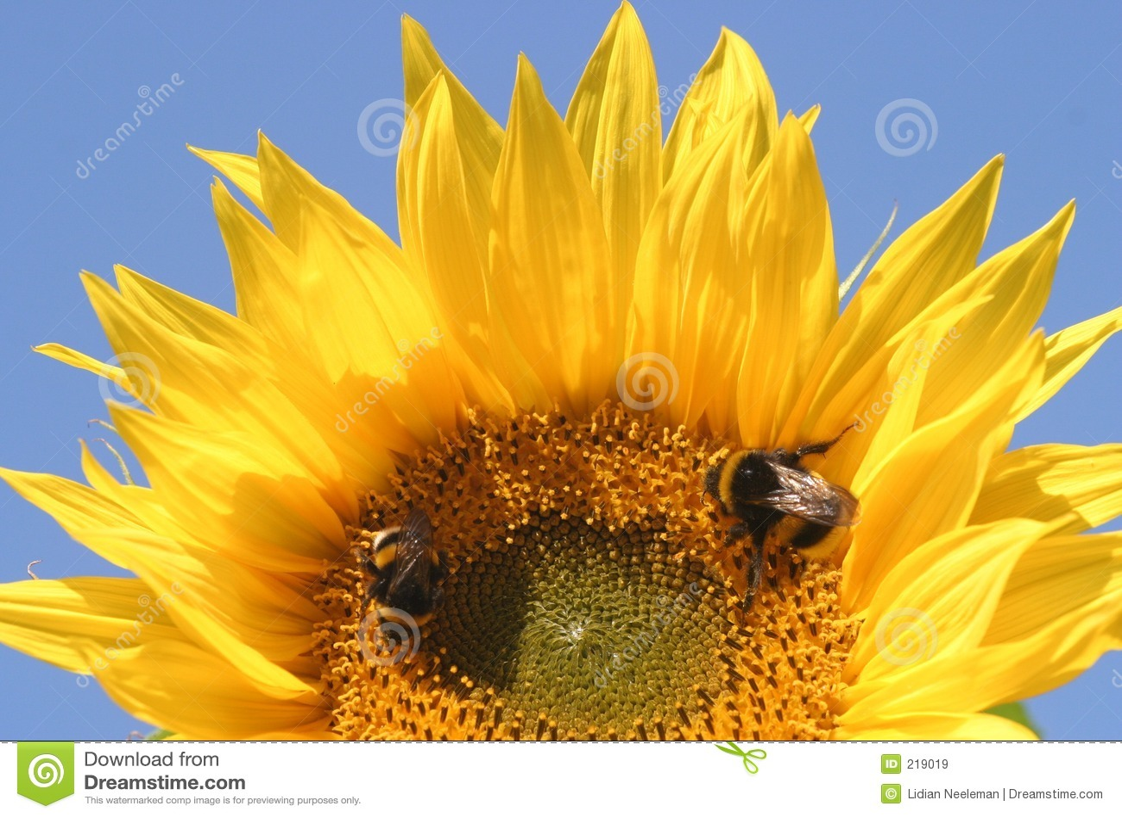 Girasole e 2 api