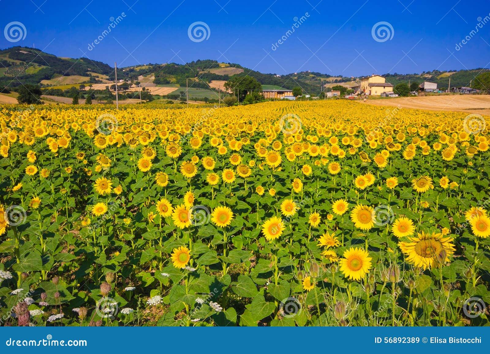 Girasole ed altre zone agricole nella distanza