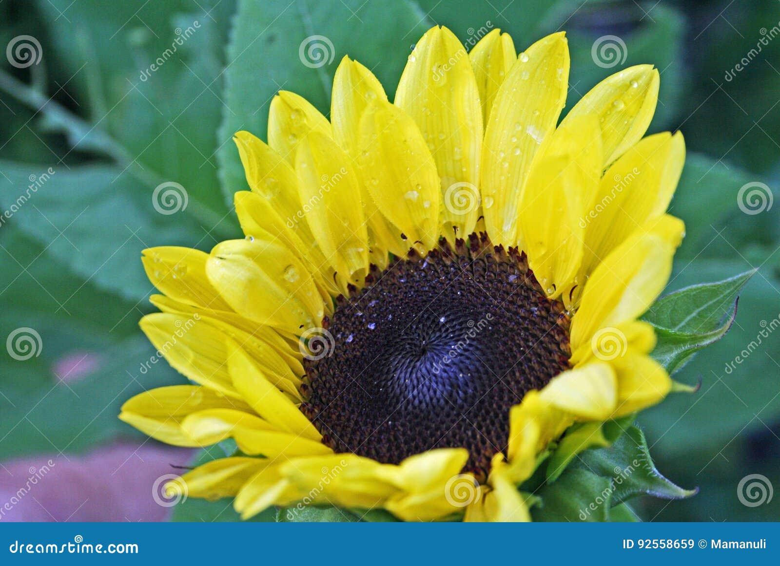 Girasole giallo