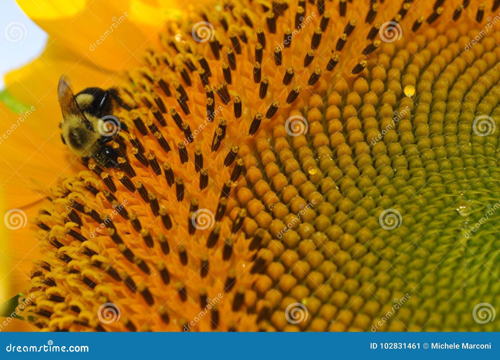 Girasole giallo luminoso con la fine su di un ape