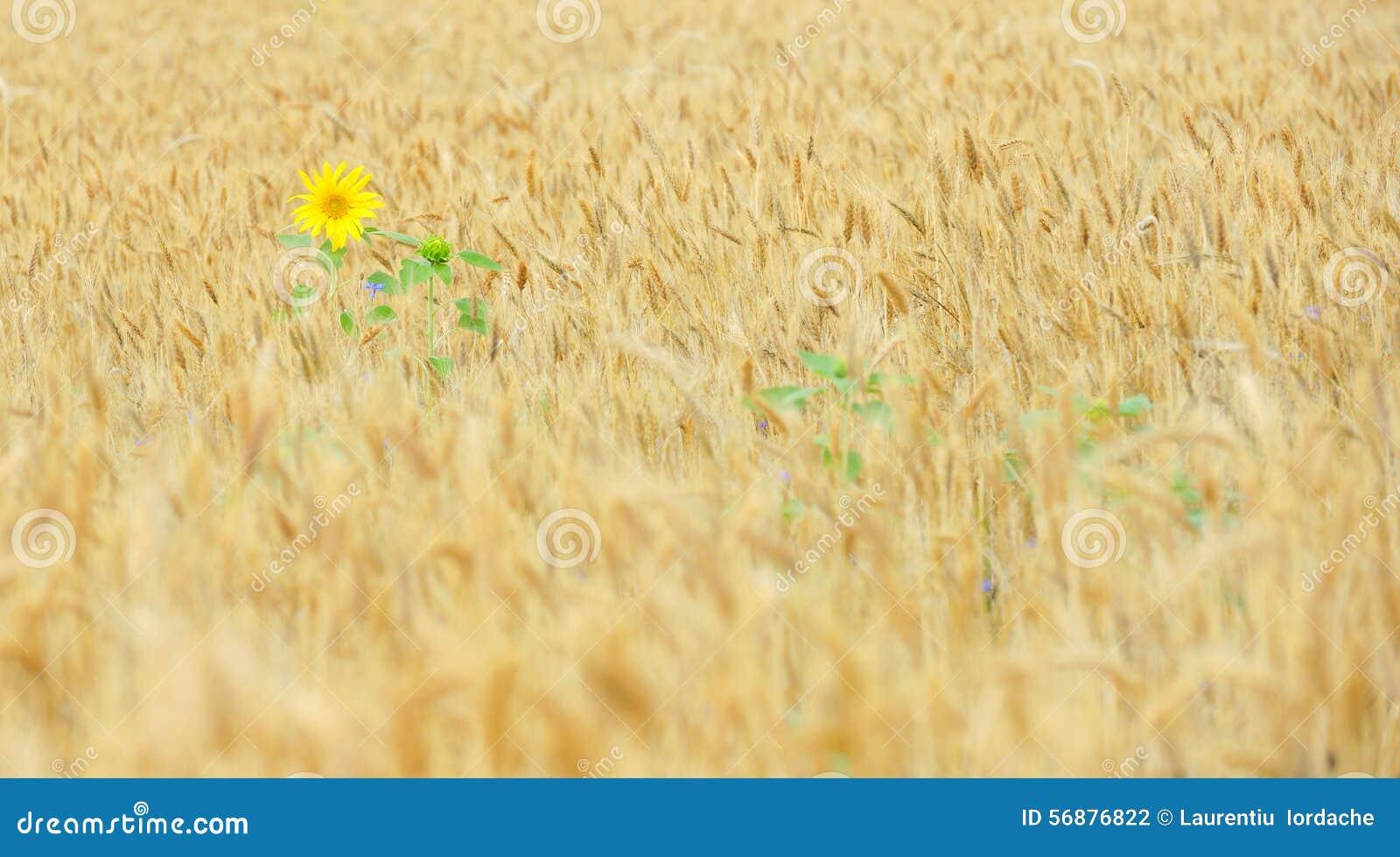 Girasole nel giacimento di cereale