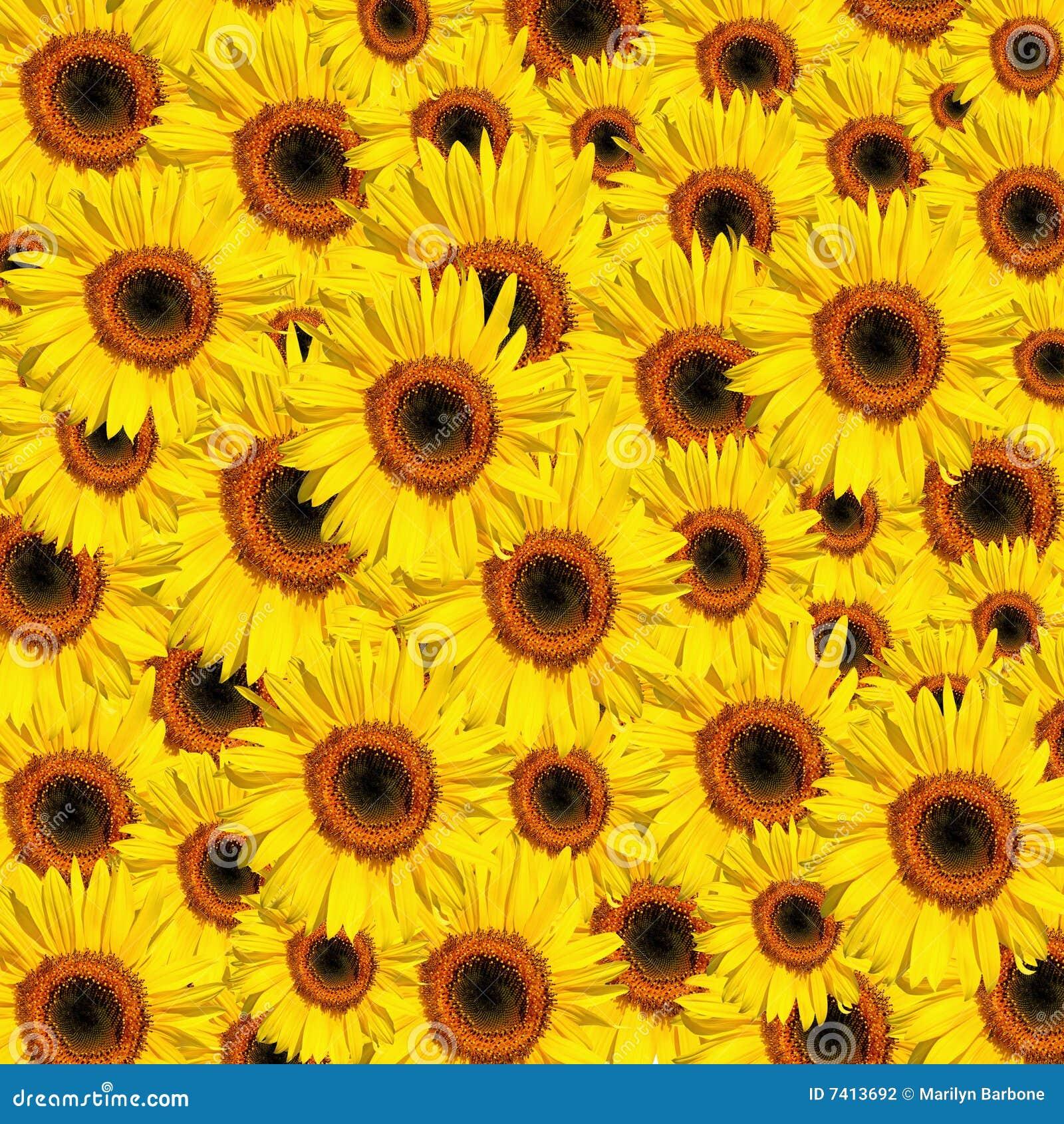 Girasoles Flores T Girasoles Fondos Y Fondos De Pantalla