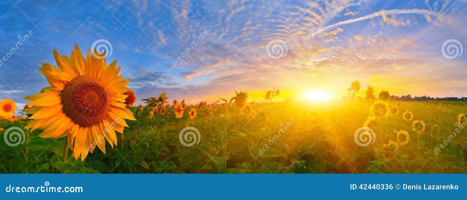 Girasoles de la salida del sol