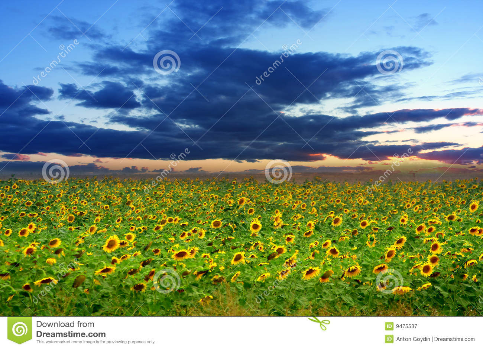 Girasoles en campo