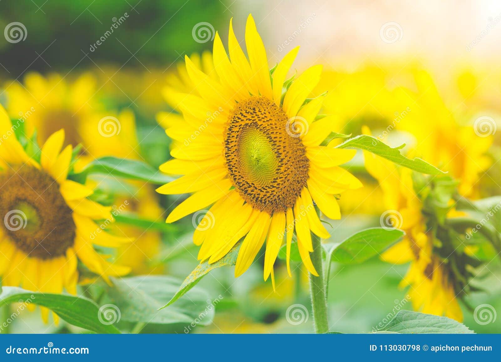Girasoles en el campo con luz del sol por la mañana