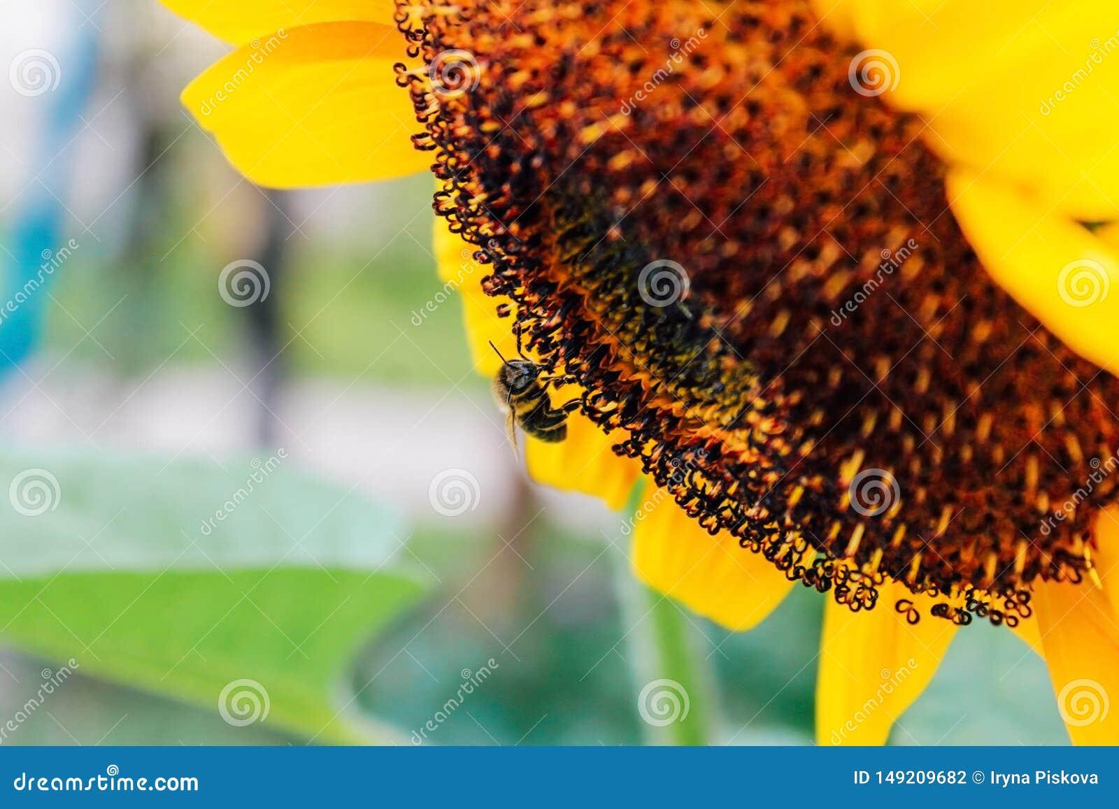 Girasoles y abeja que vuela