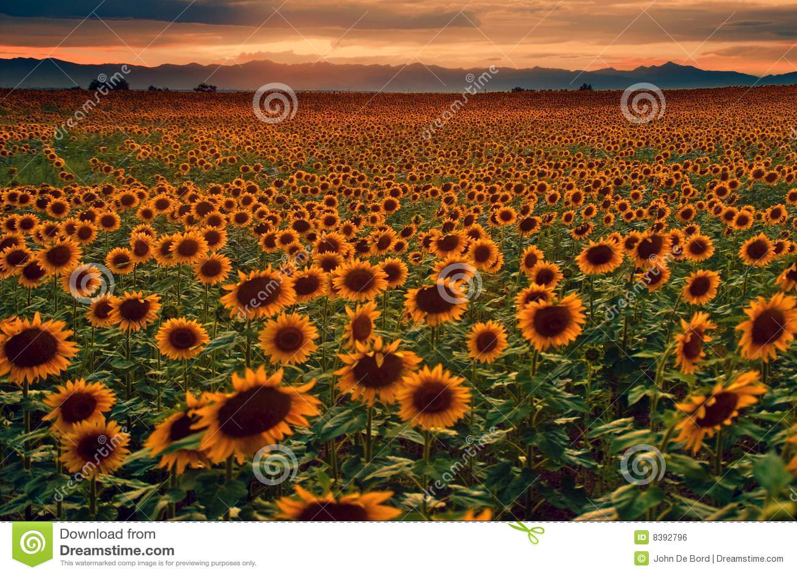 Girasoles y puesta del sol en los llanos de Colorado