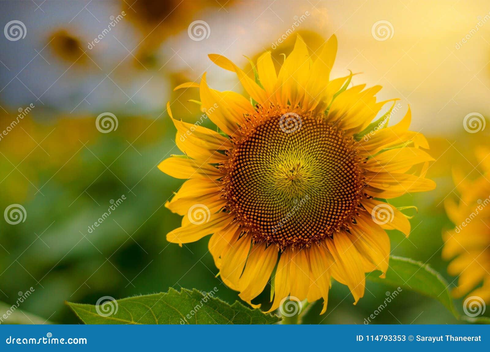 Girasoli piena fioritura e luce di mattina