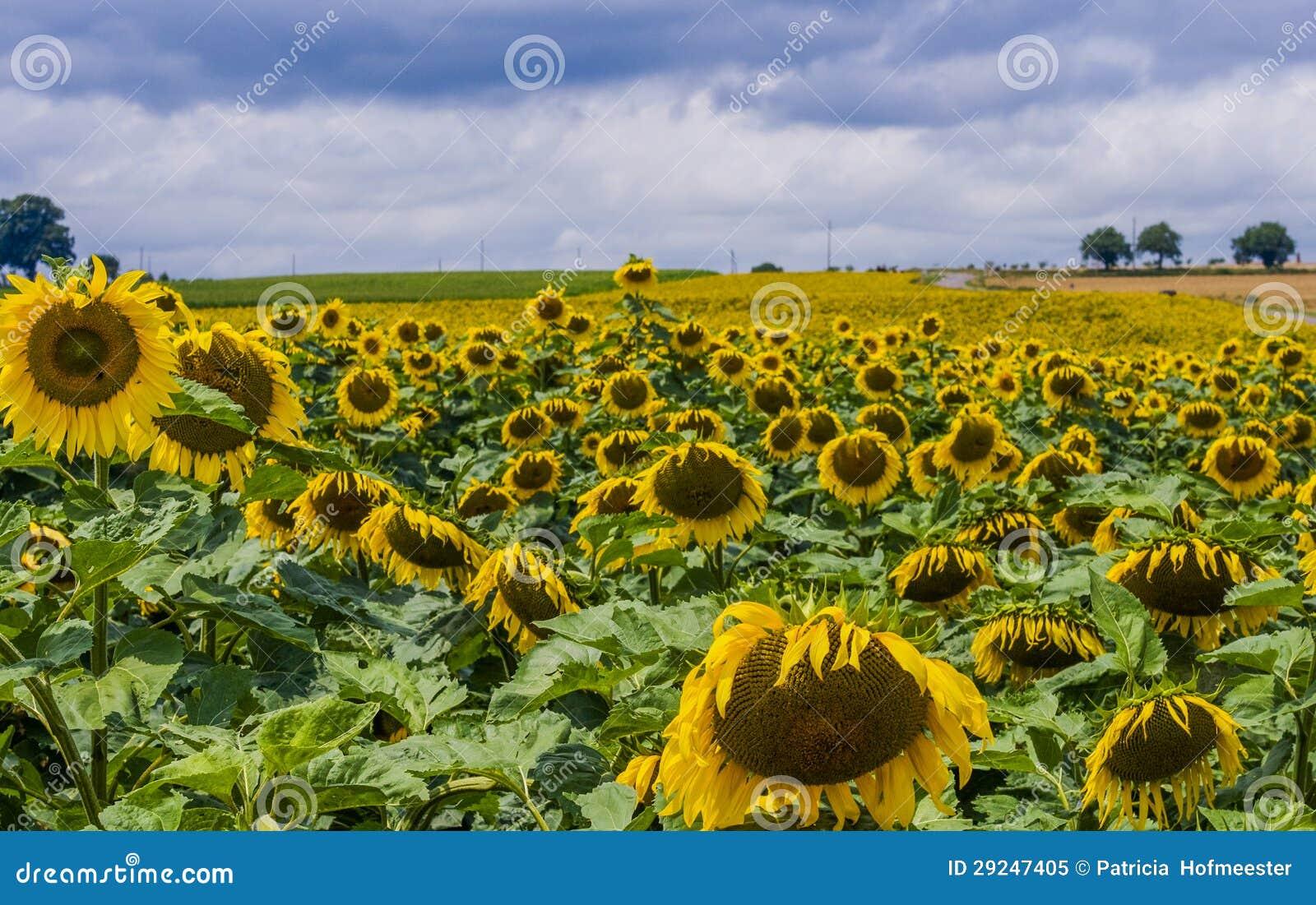 Download Girassóis imagem de stock. Imagem de daisy, horizonte - 29247405