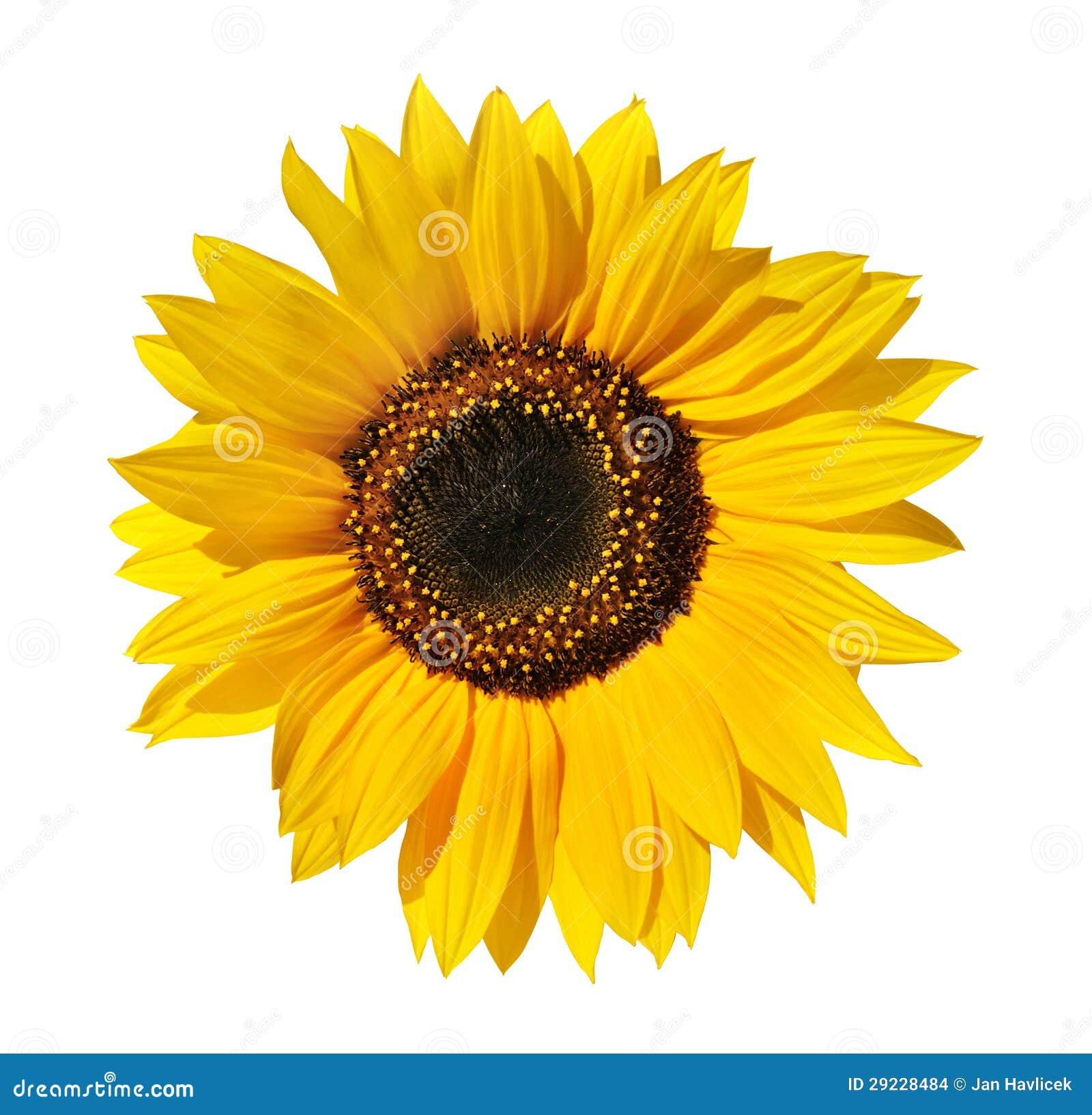 Download Girassol foto de stock. Imagem de beleza, amarelo, flor - 29228484