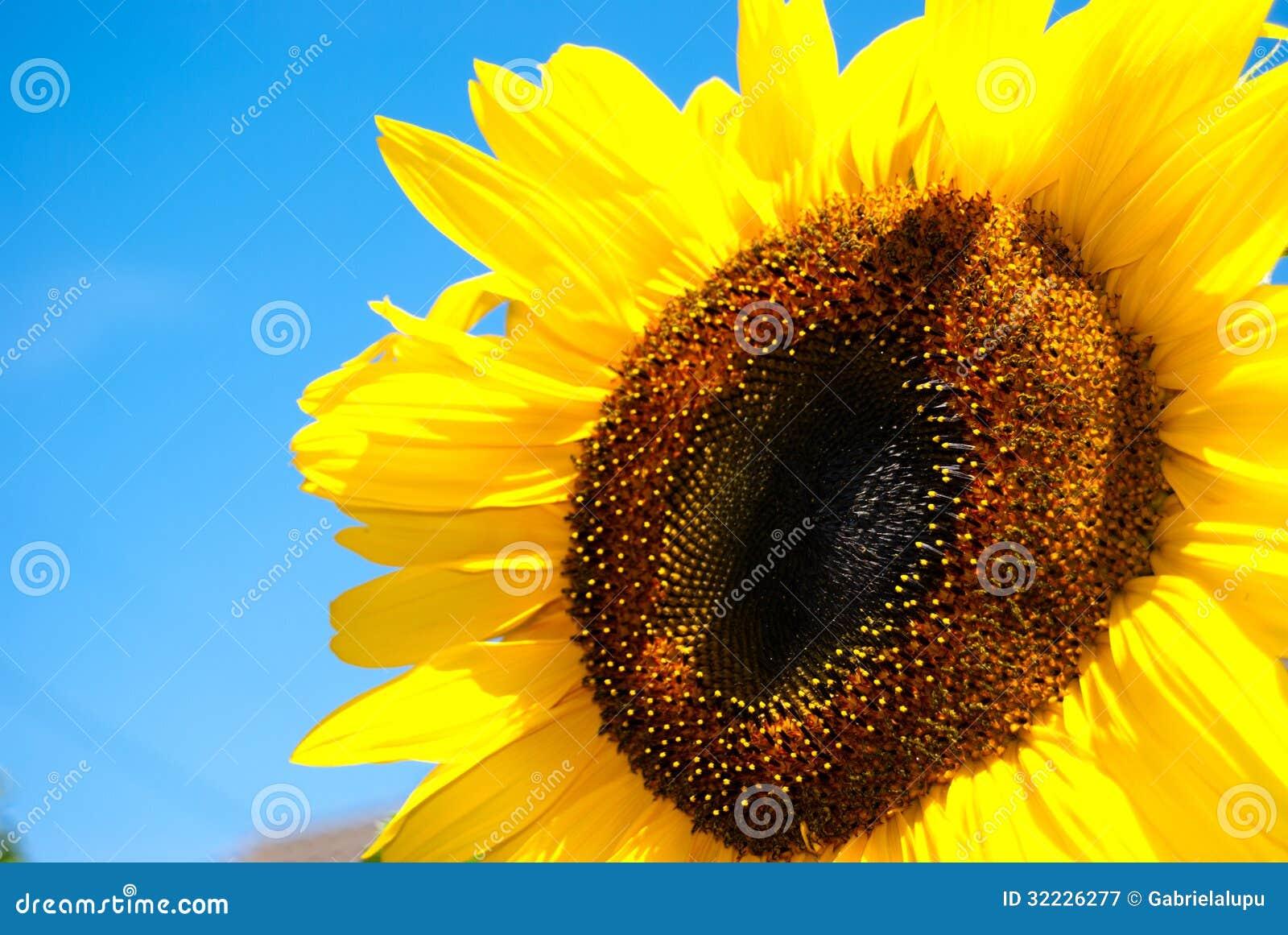 Download Girassol imagem de stock. Imagem de céu, nave, azul, pétala - 32226277